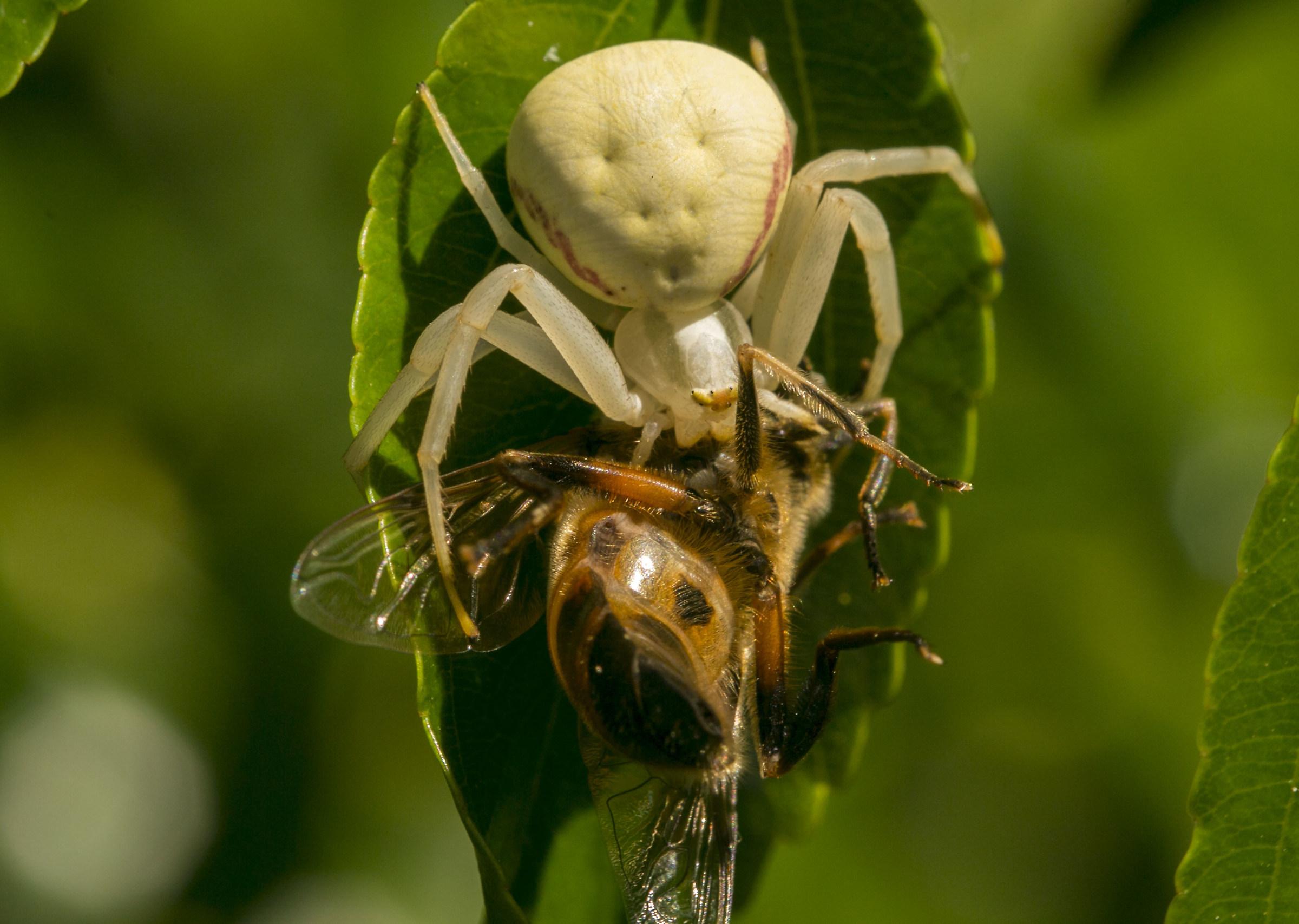 """Misumena Vatia """"crab spider""""..."""