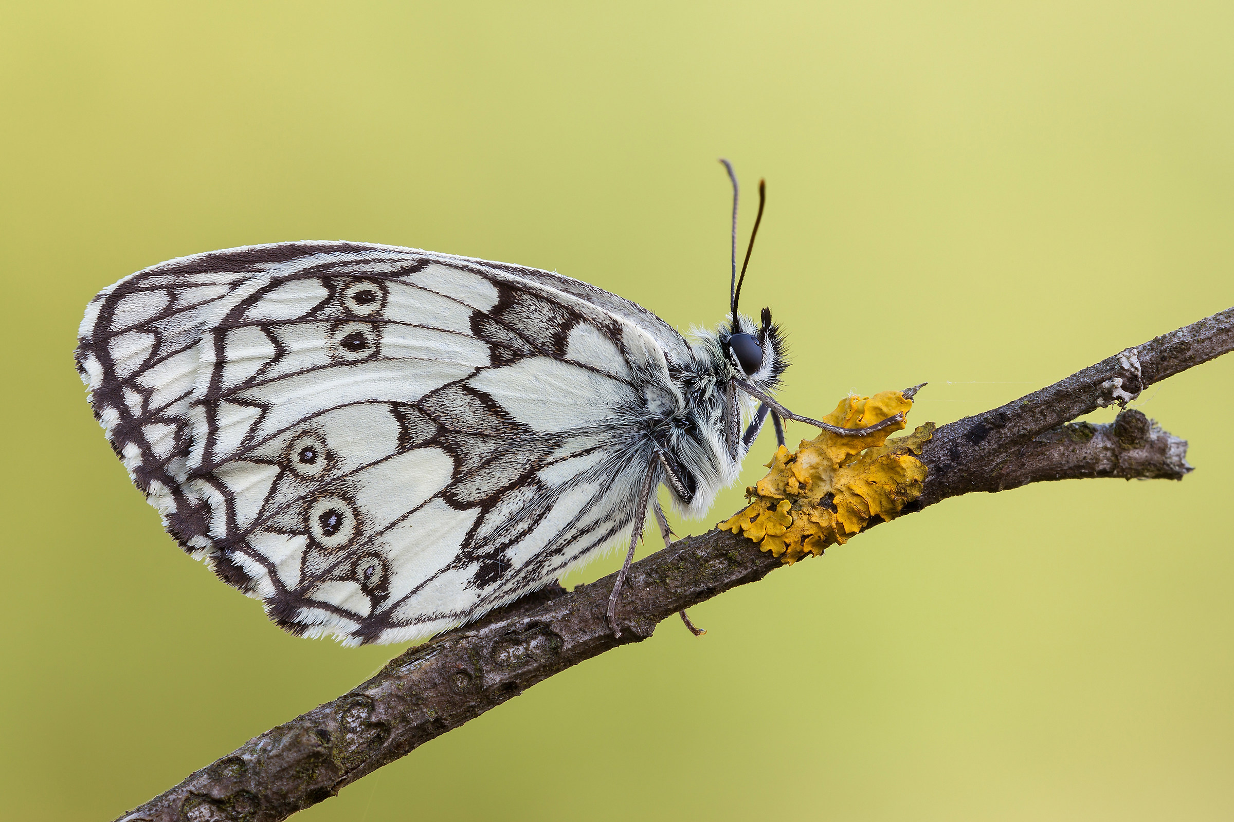 Marbled Galathea (Linnaeus, 1758)...