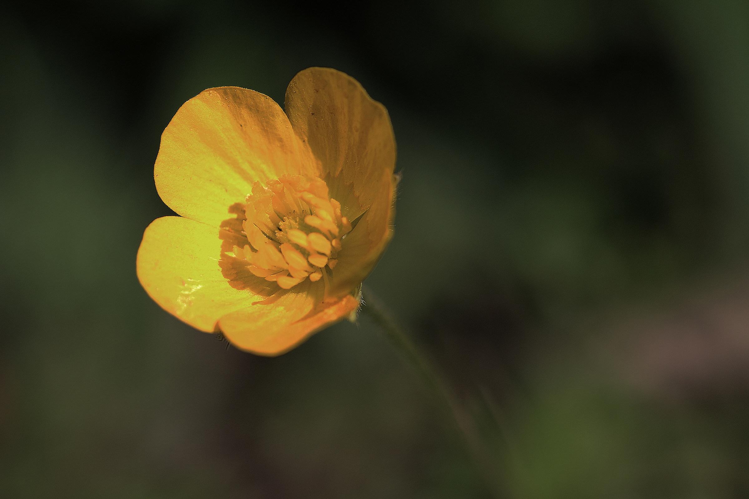 Flower of field......