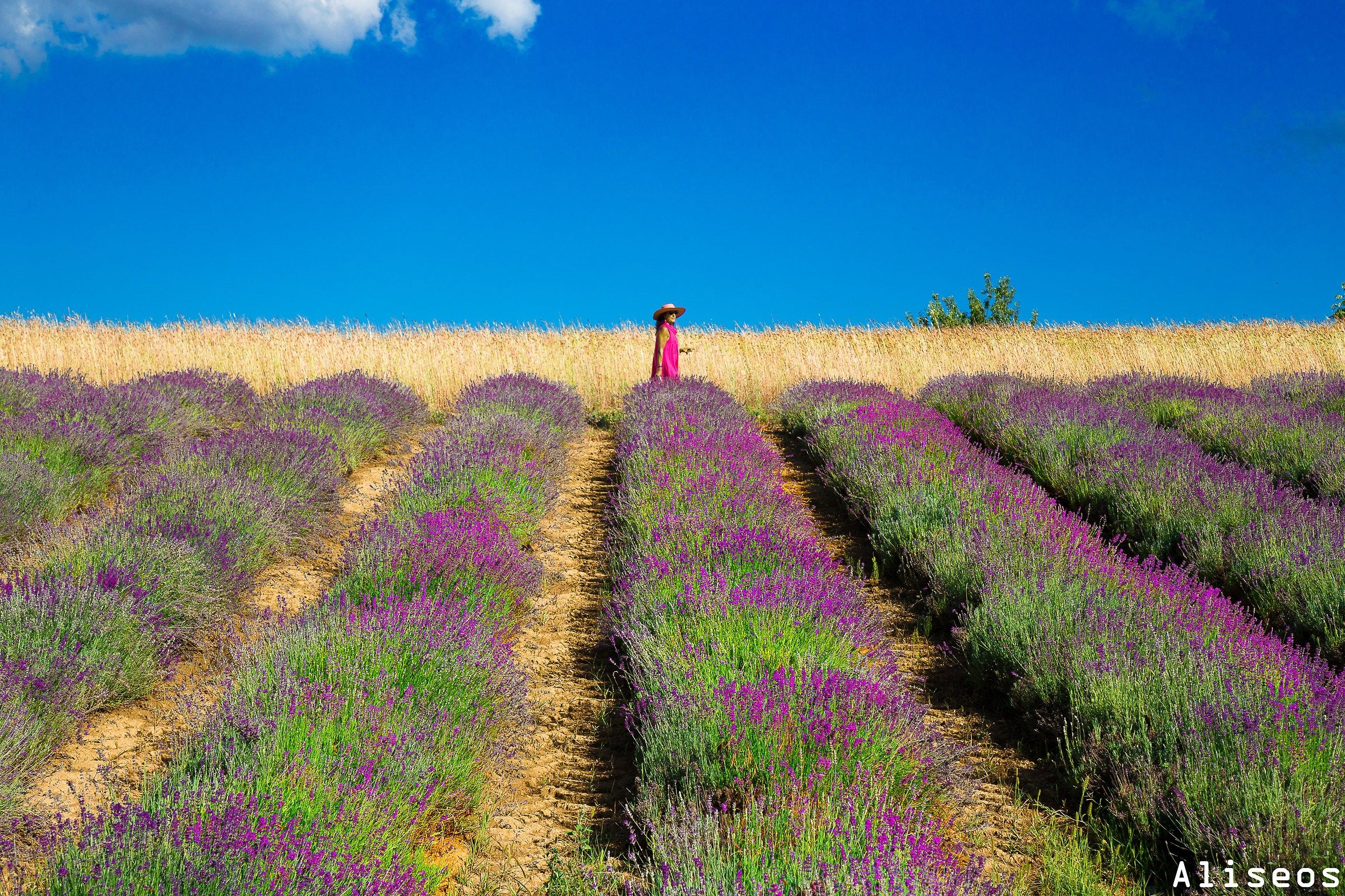 Between Lavender and wheat...