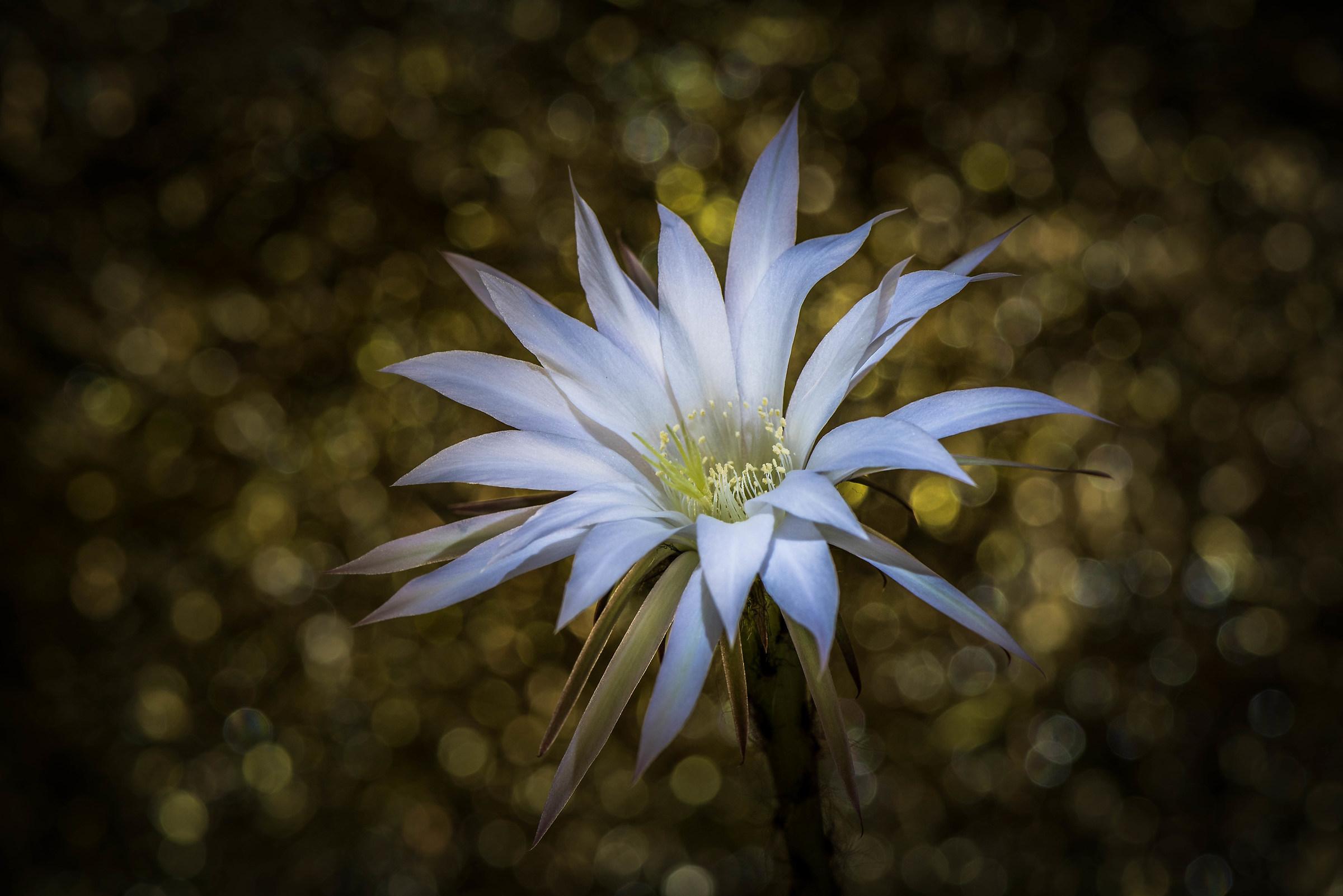 Echinopsis-Cactus Flower....