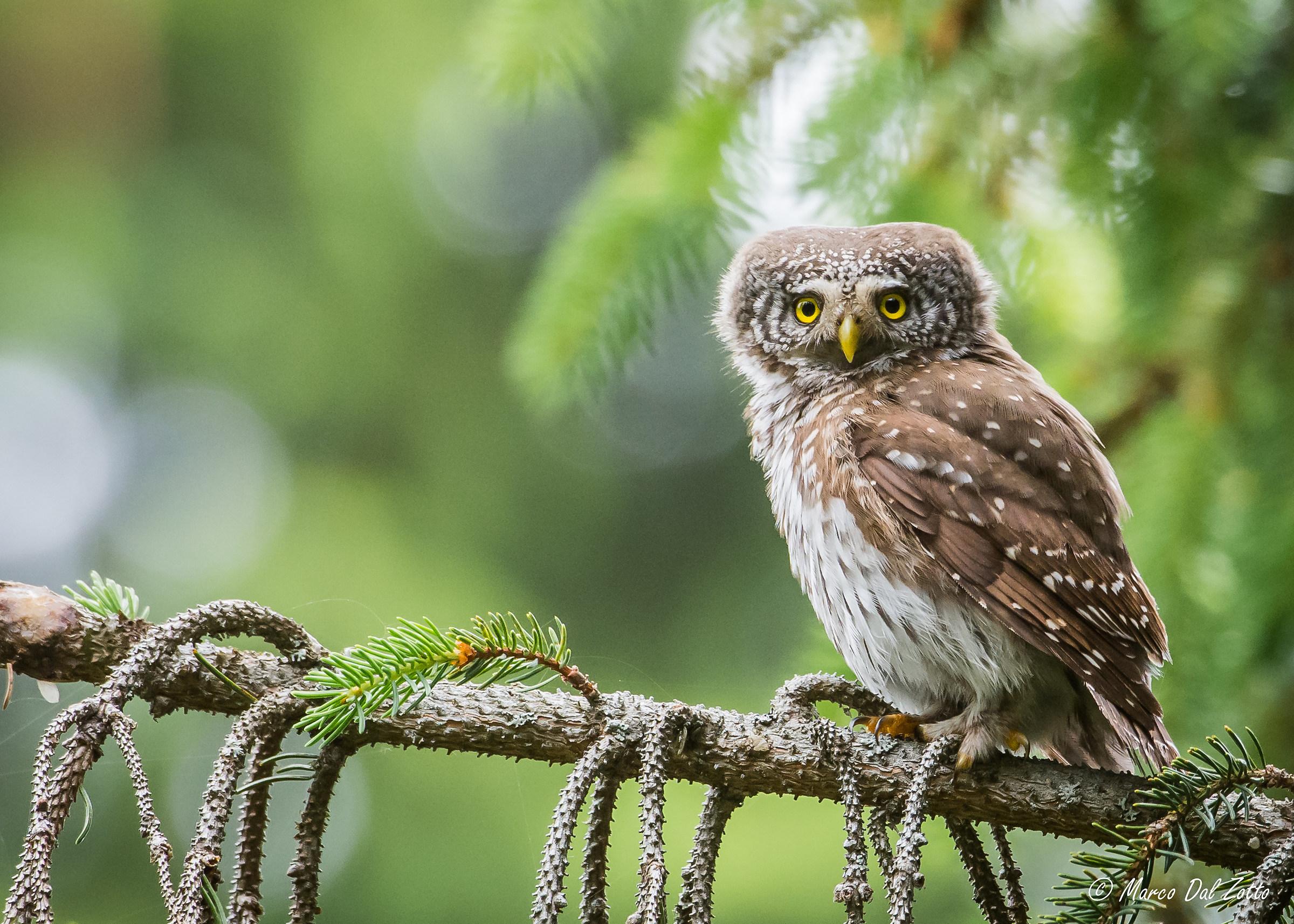 Dwarf Owl...