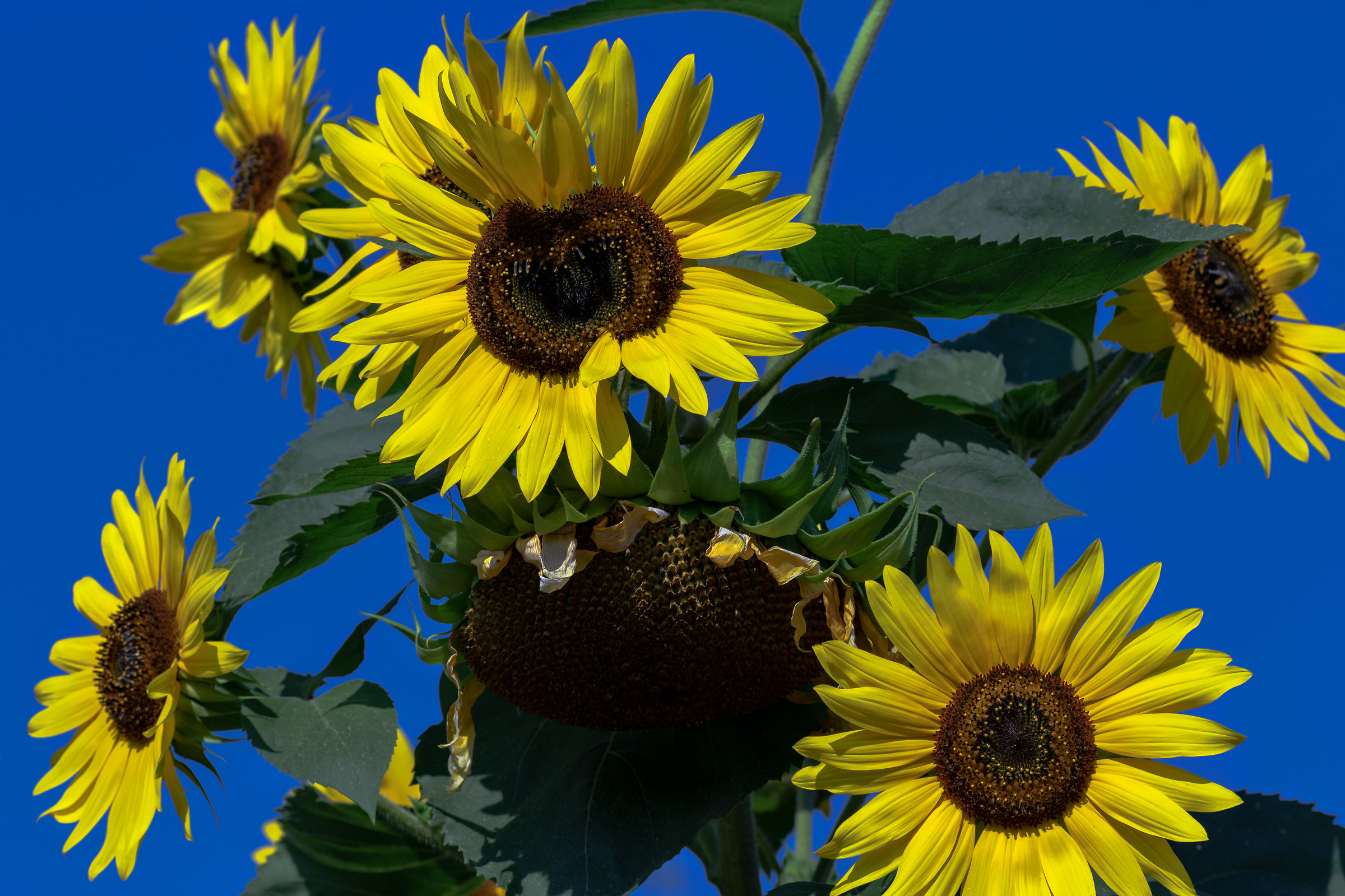 Sunflower Heart...
