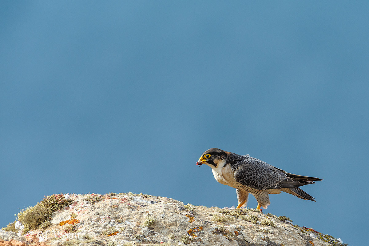 Barbary Falcon - Falcon pelegrinoides pelegrinoides...