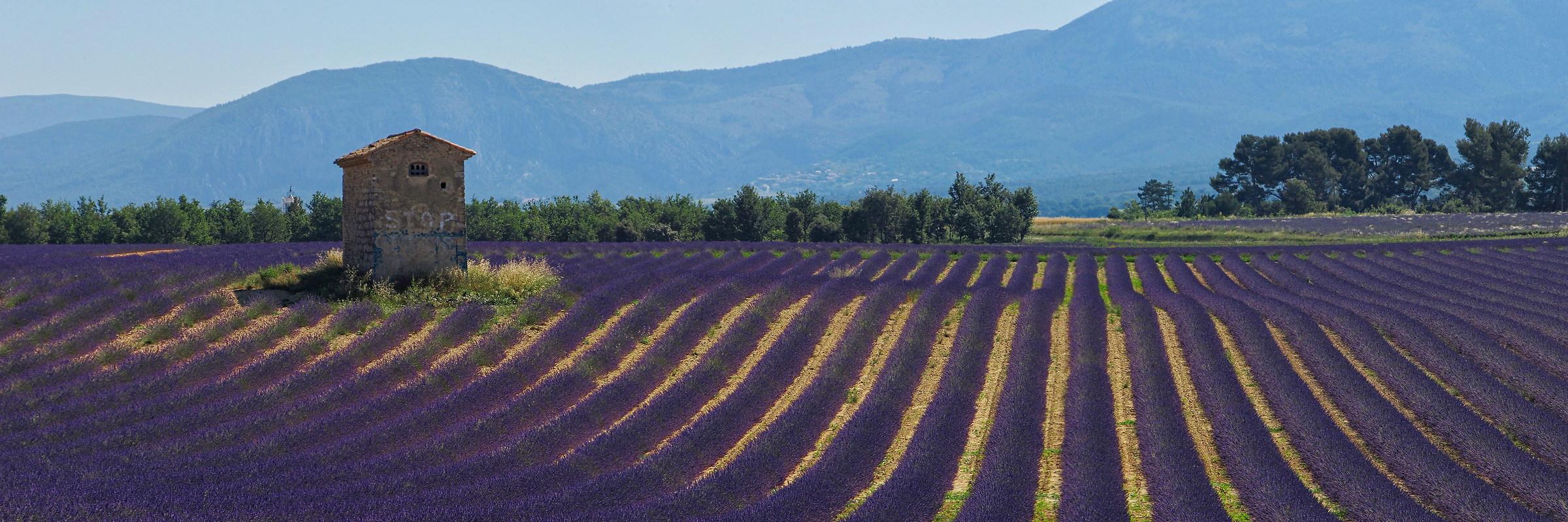 Lavender fields near Puimoisson, Provence...