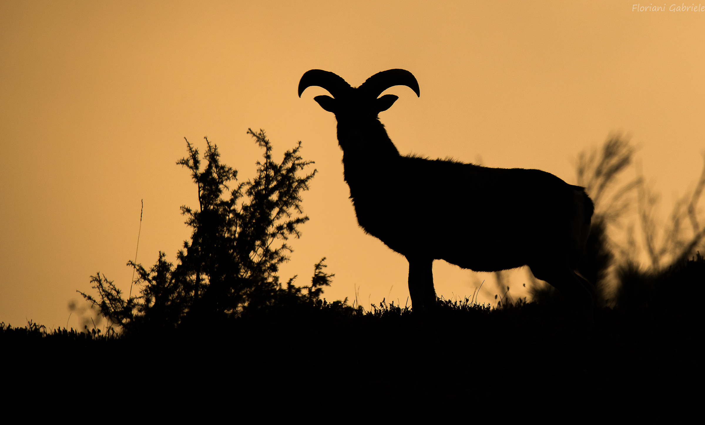 Mouflon in Silhouettes...