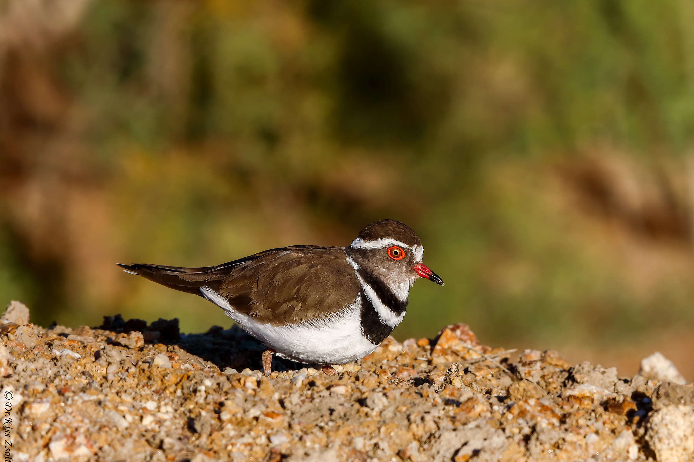 Three-banded plover...
