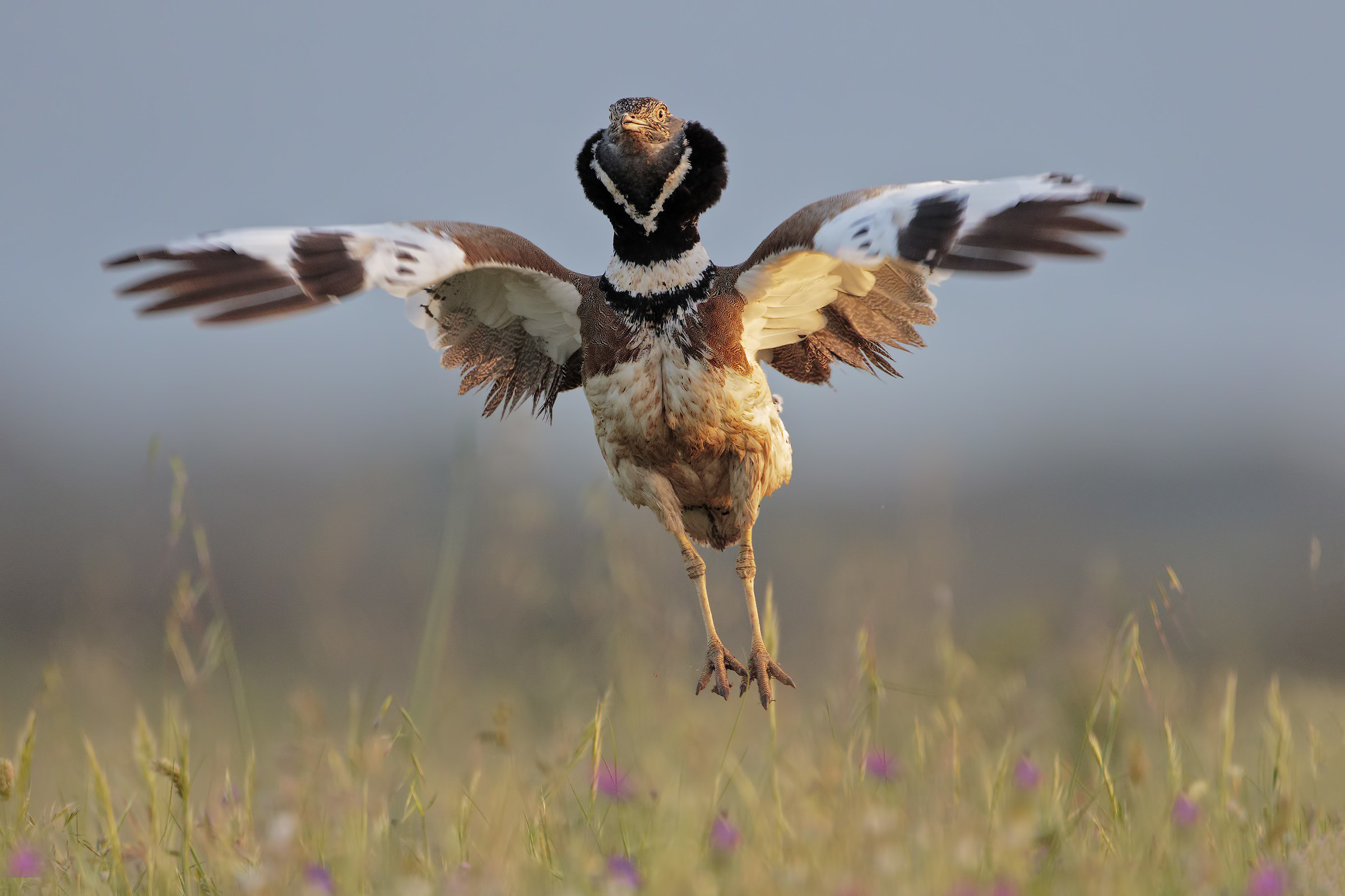 The jump of the Bustard...