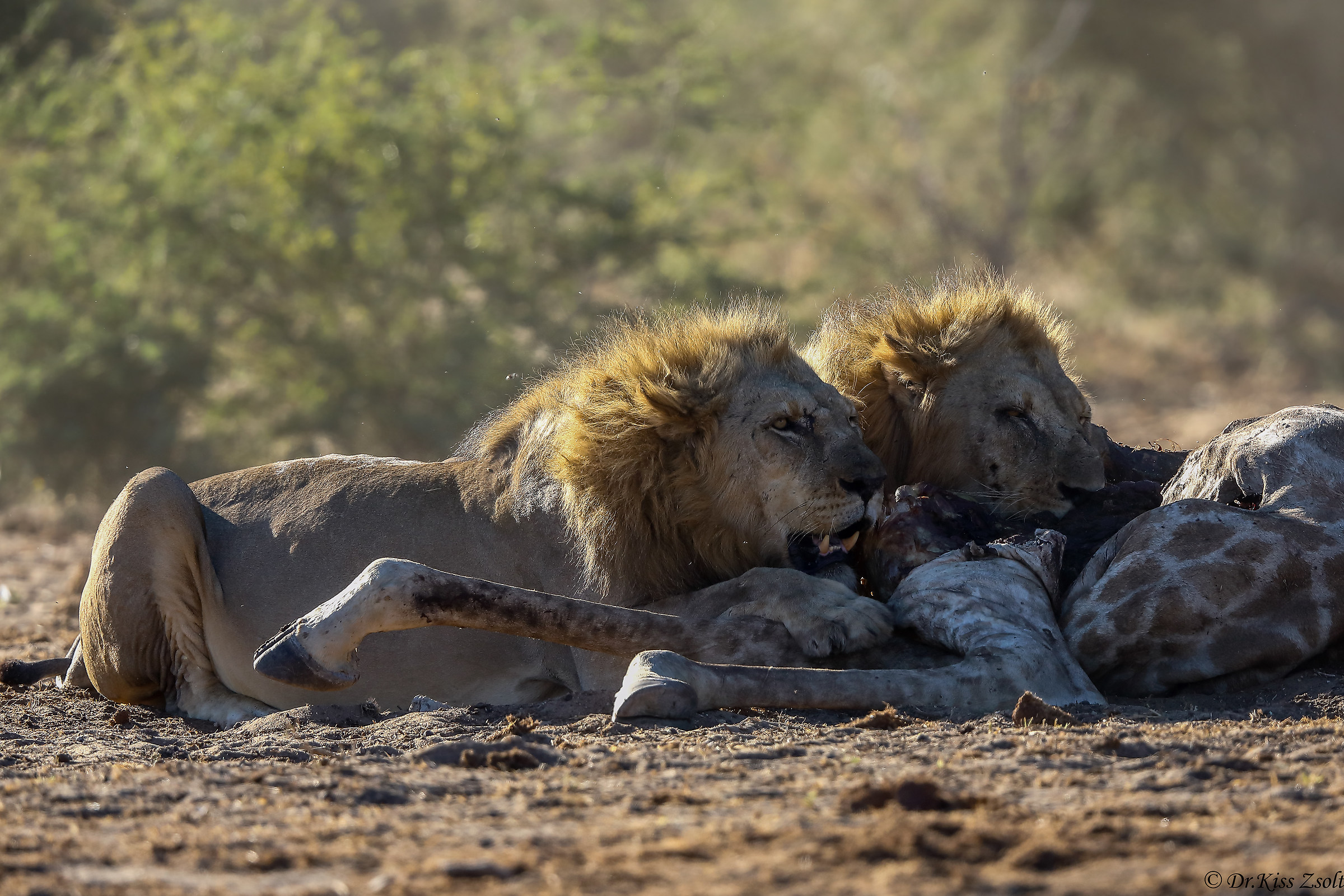 Lions protecting their prey...