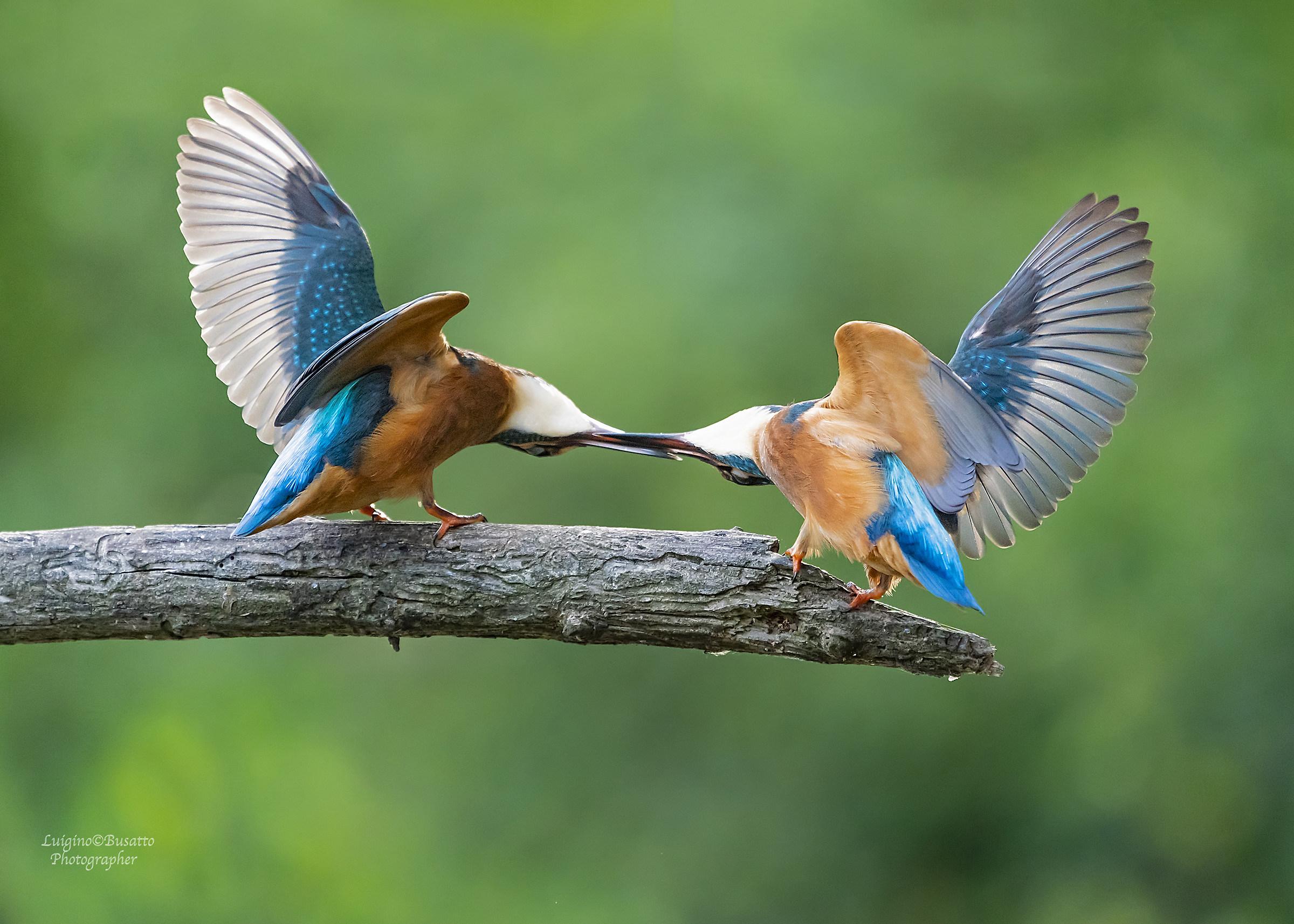 Kingfisher arguing ...