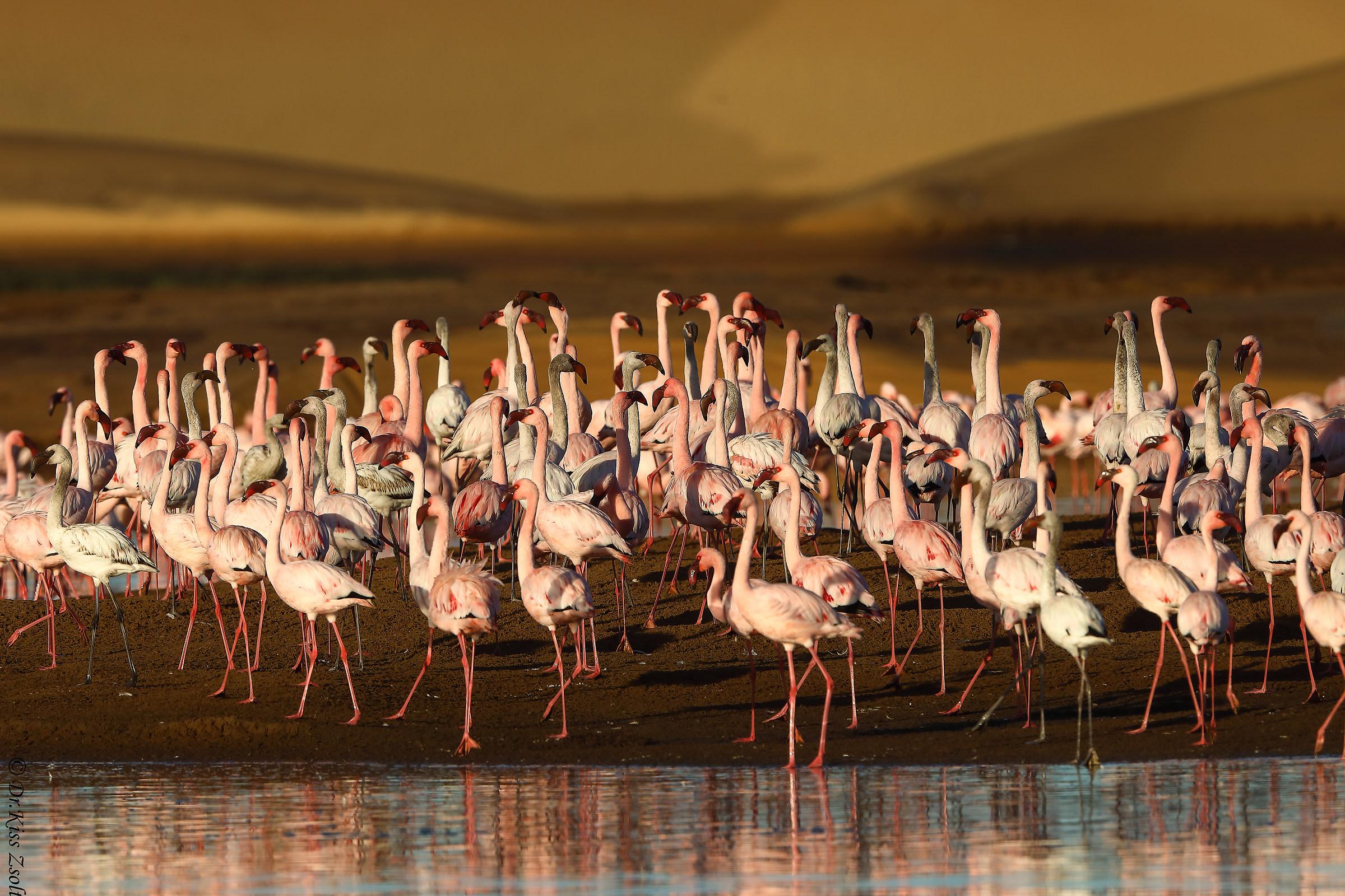 Lesser flamingos in morning lights...
