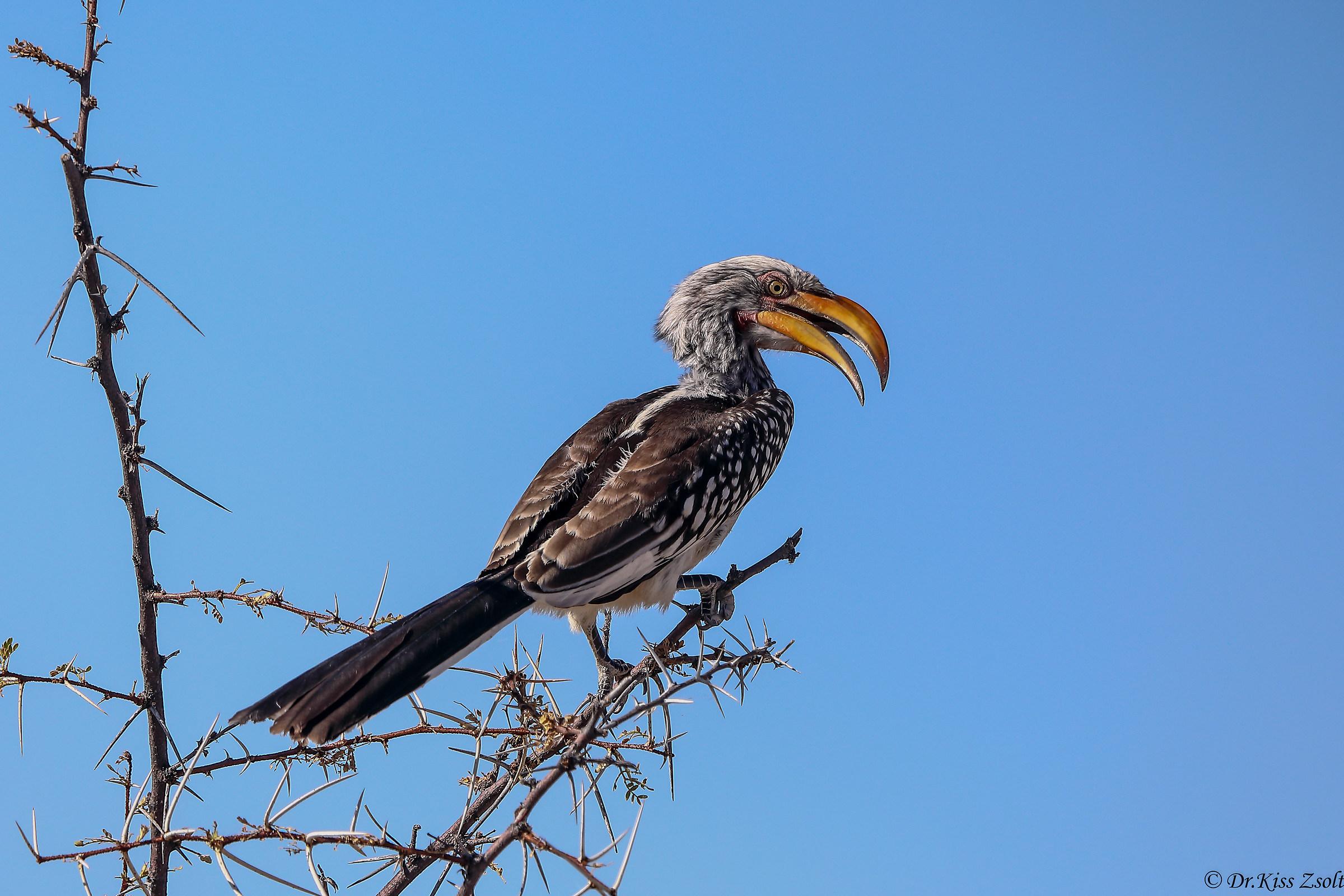 Southern yellow-billed hornbill...