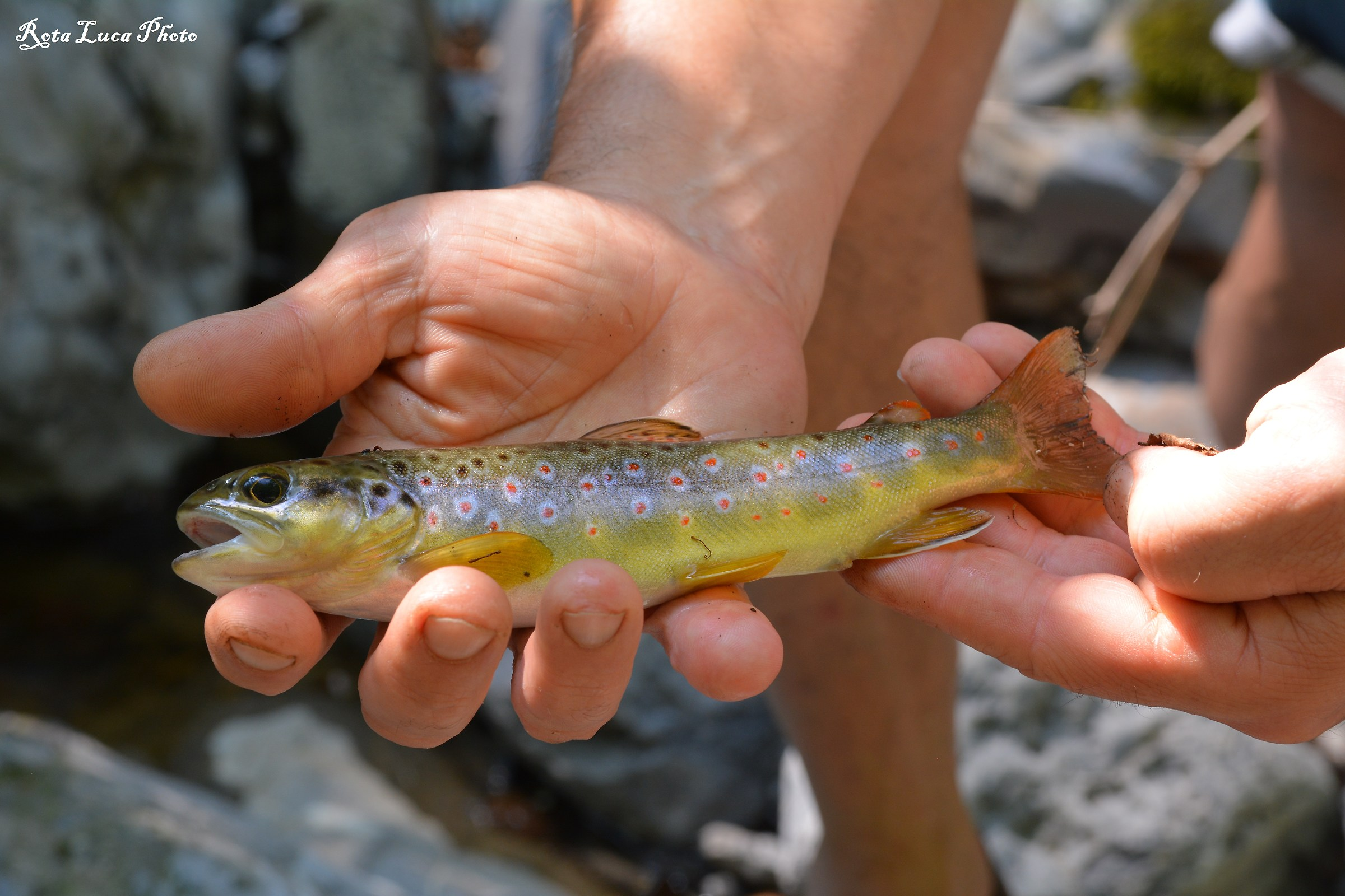 Brown trout...
