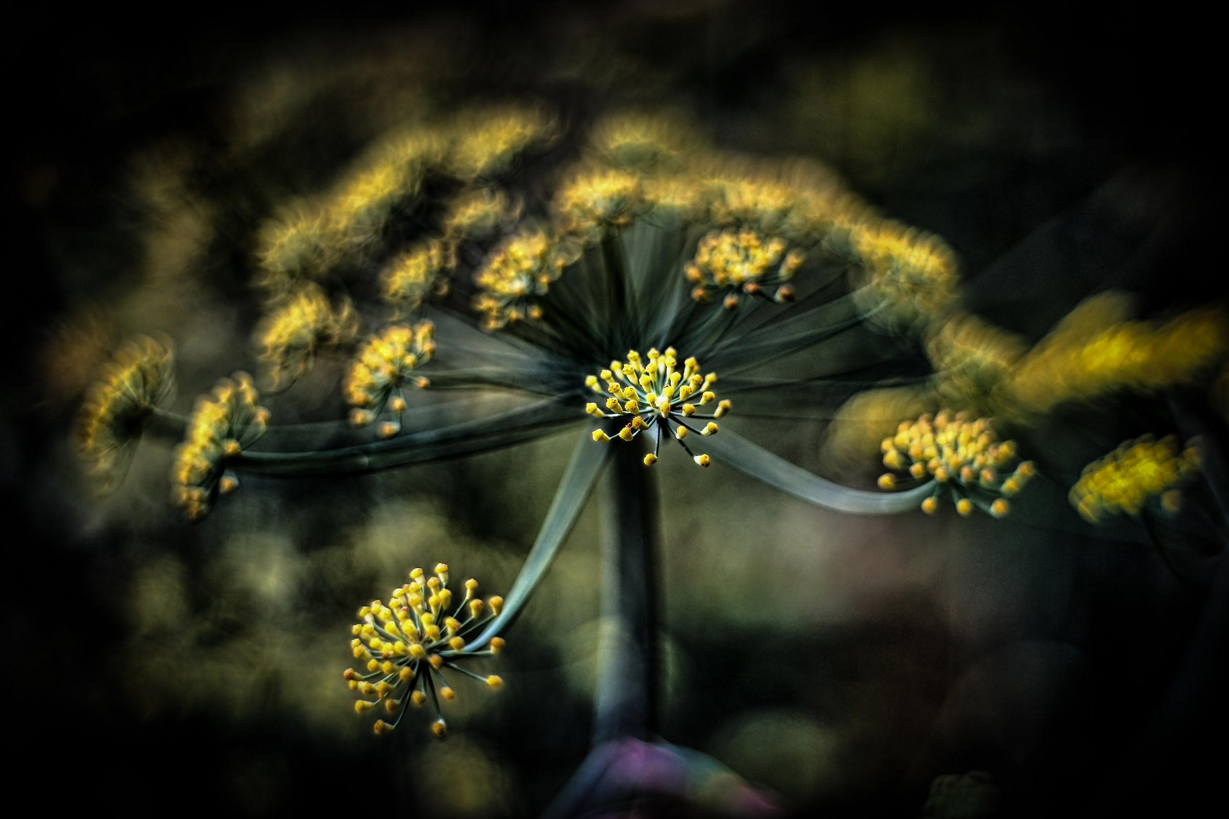 fiore di finocchio...