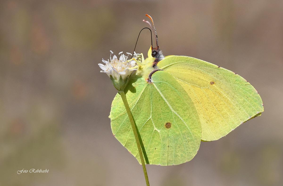La farfalla foglia......