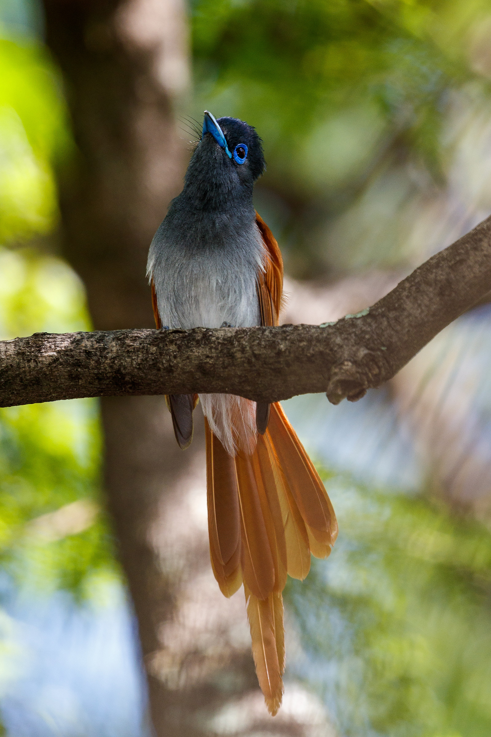African Paradise-Flycatcher no.2...