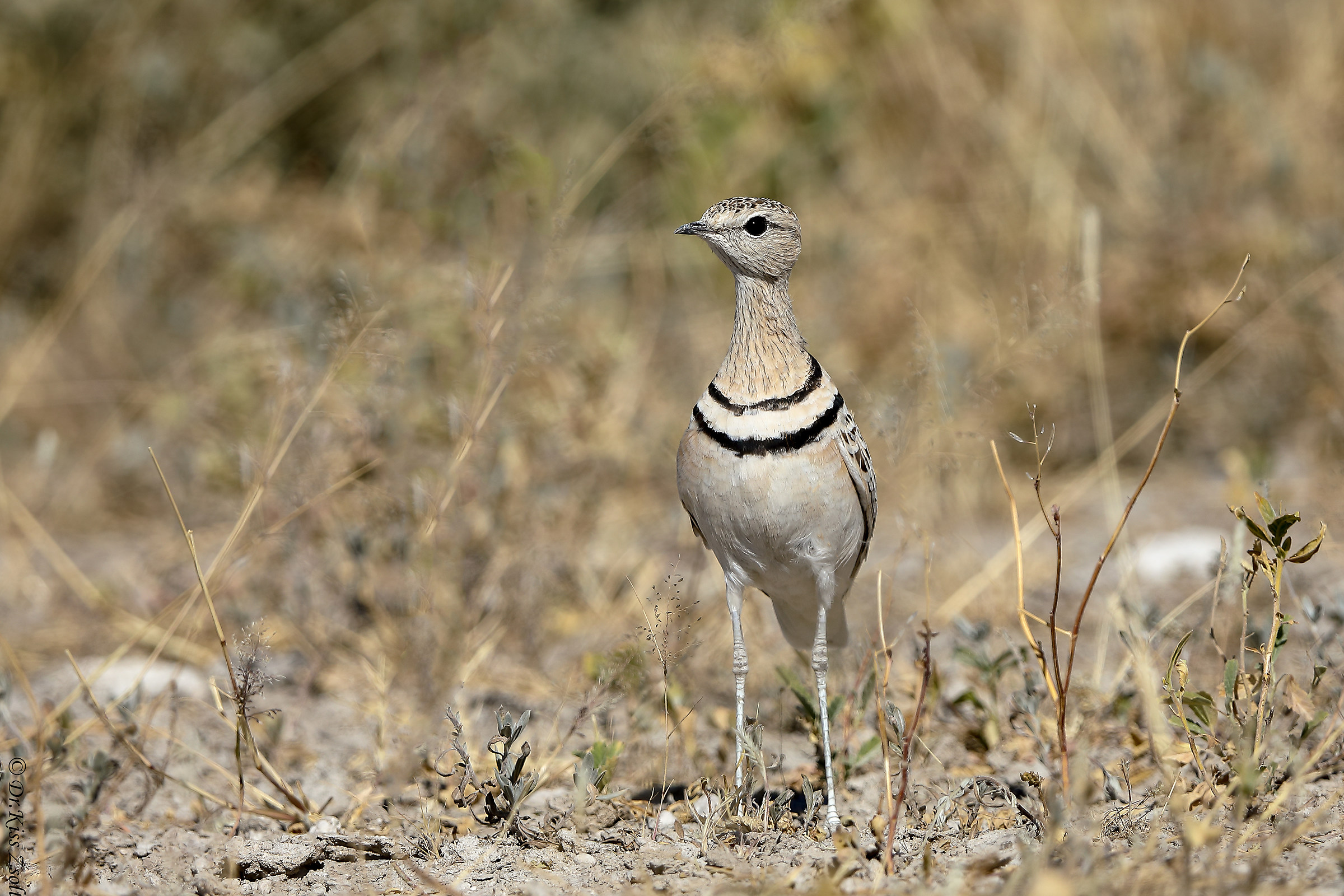 Double-banded courser...