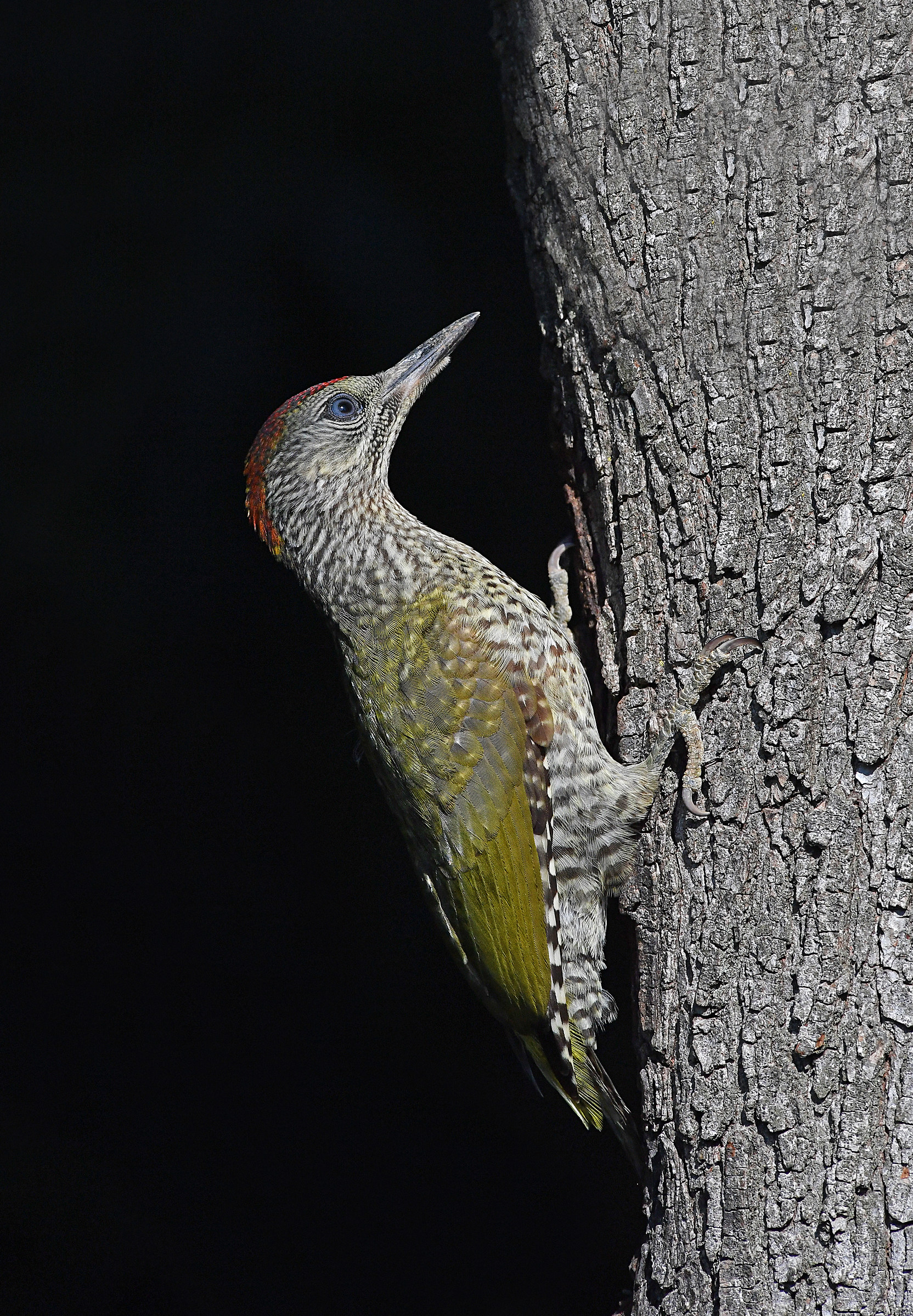 Stories of Feathers (young green woodpeckers)...
