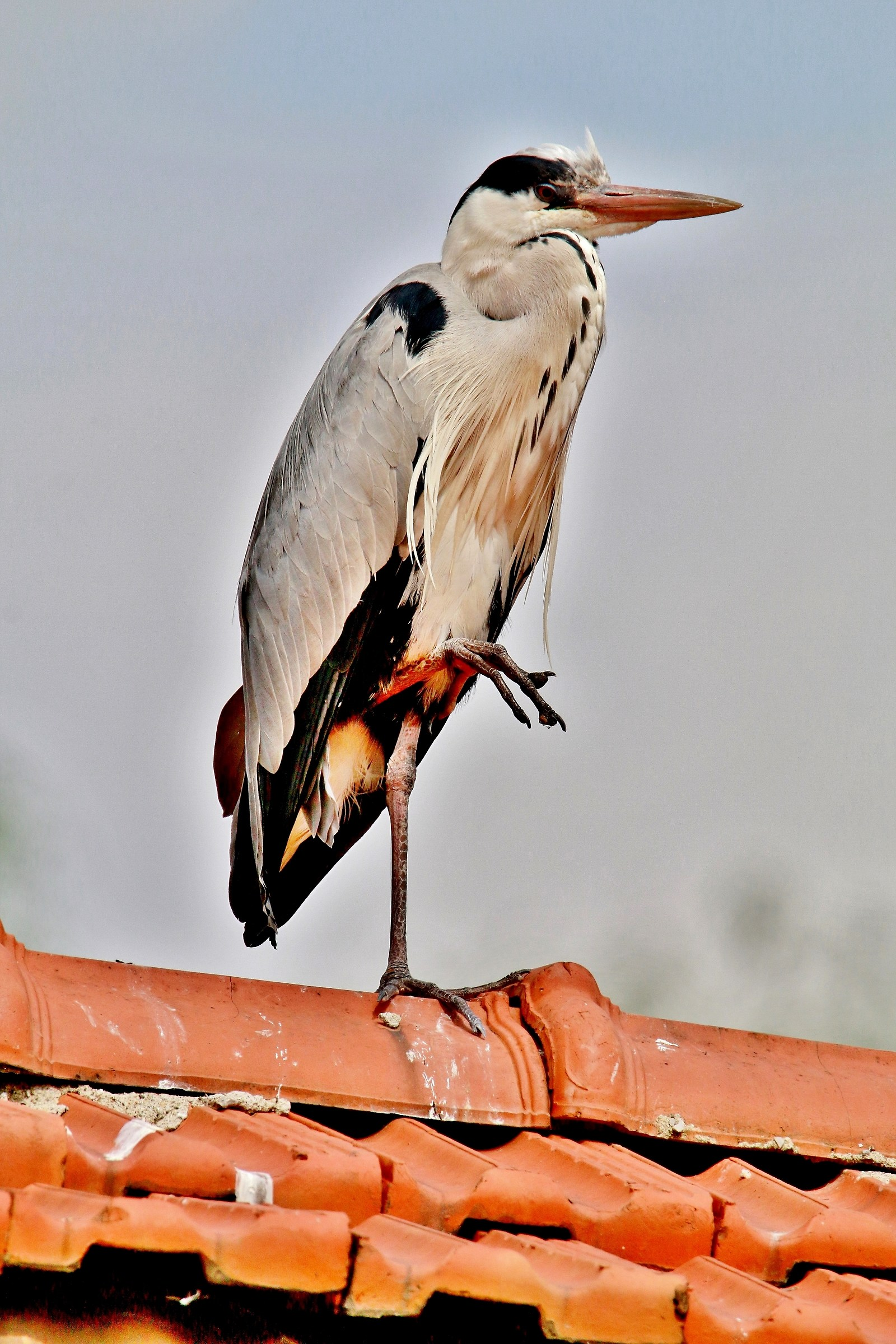 The Heron......... on the hot roof.......