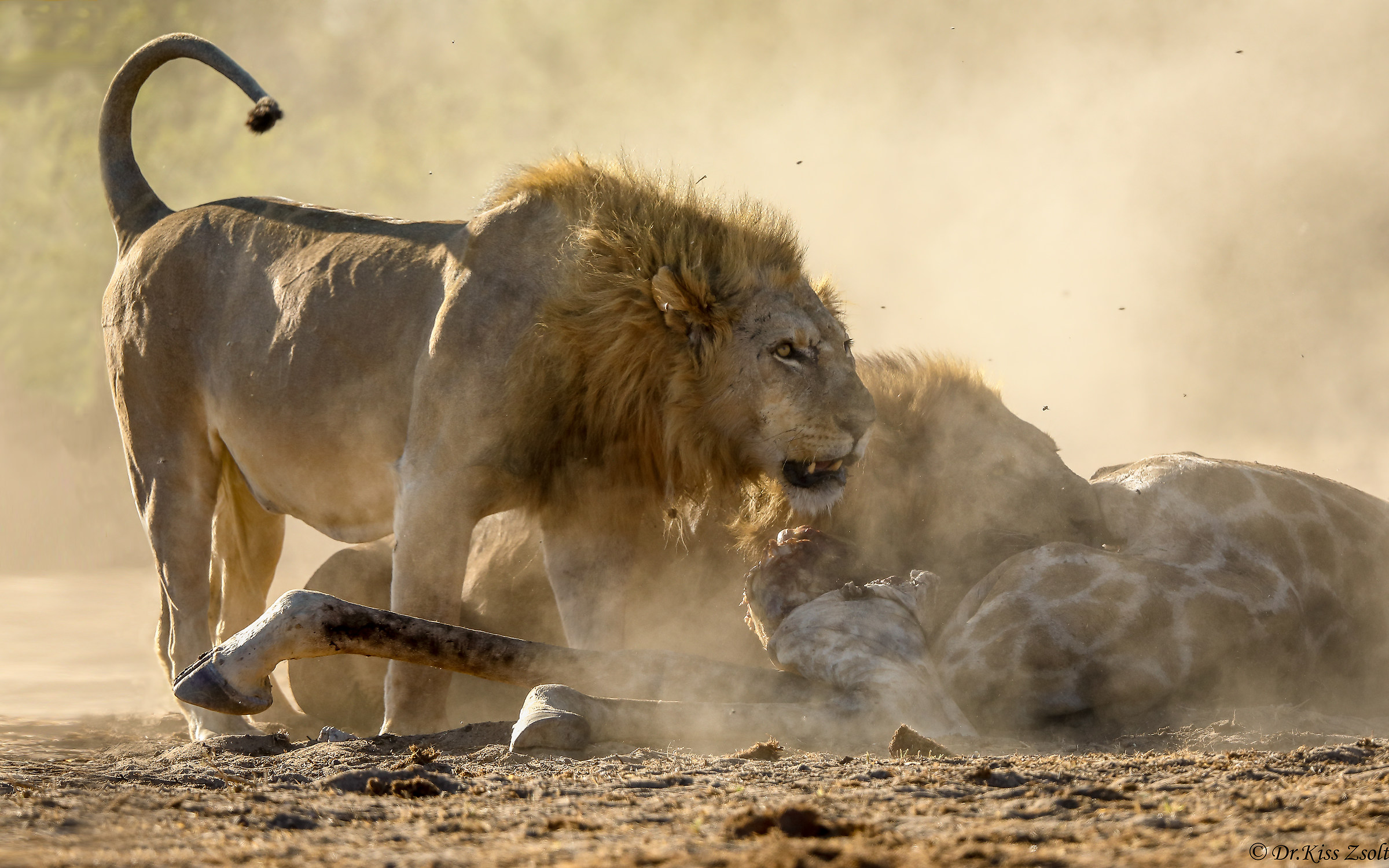 Lions in the dust...