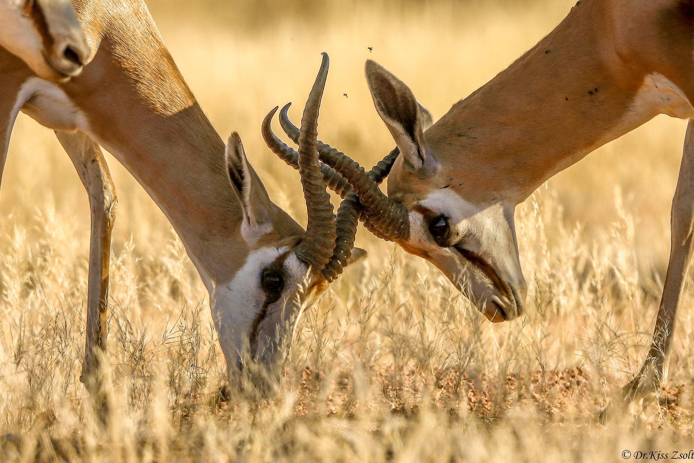 Fighting springboks...