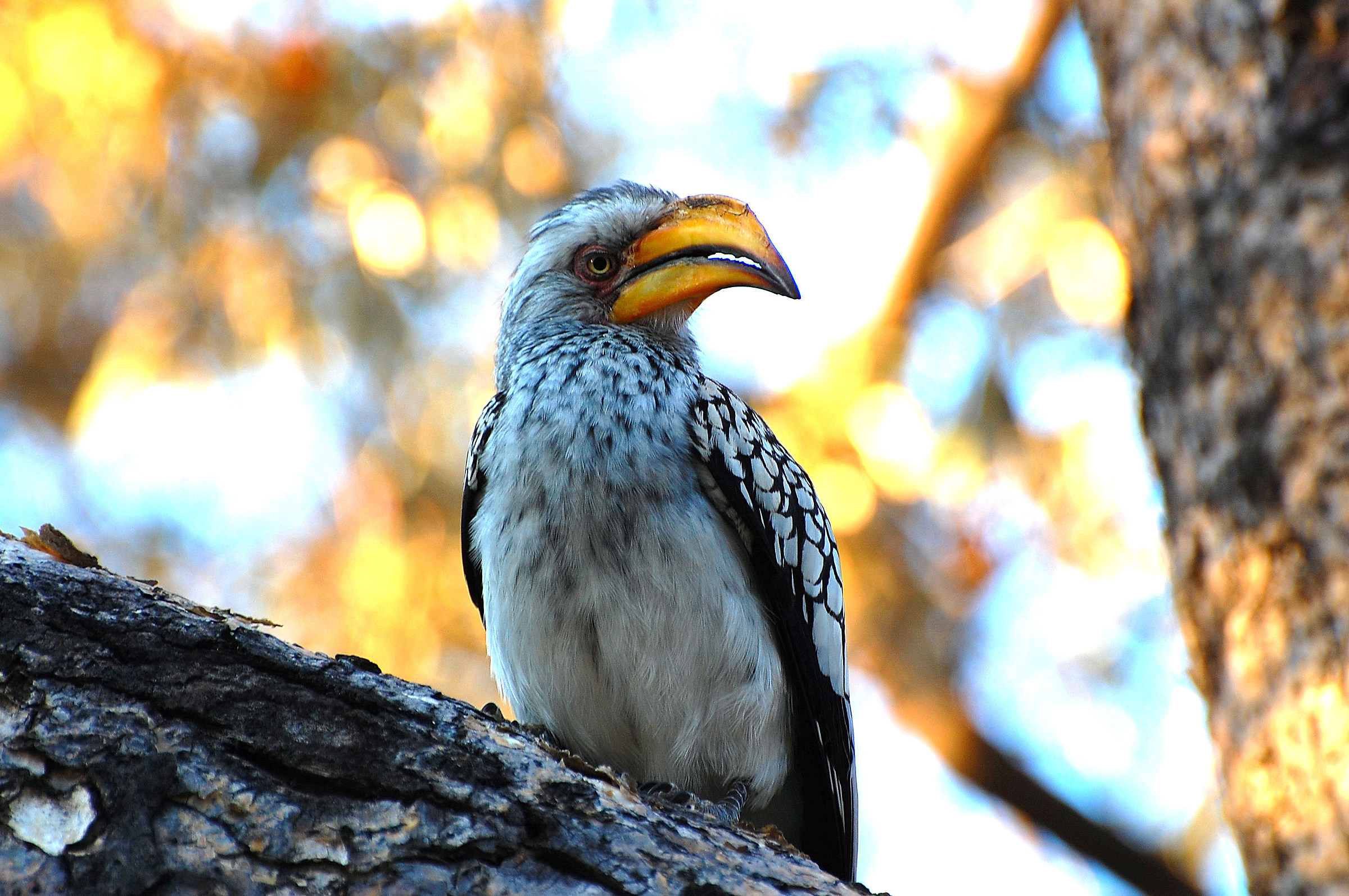 Botswana: Long-billed Hornbill...