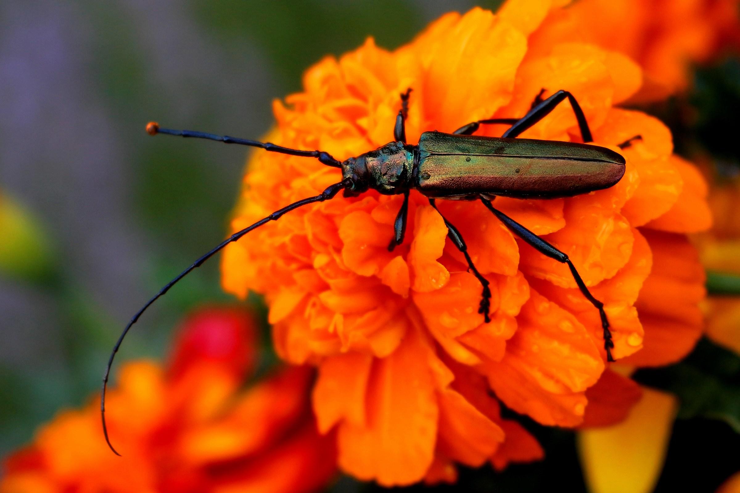 l'insetto dall' armatura verde...