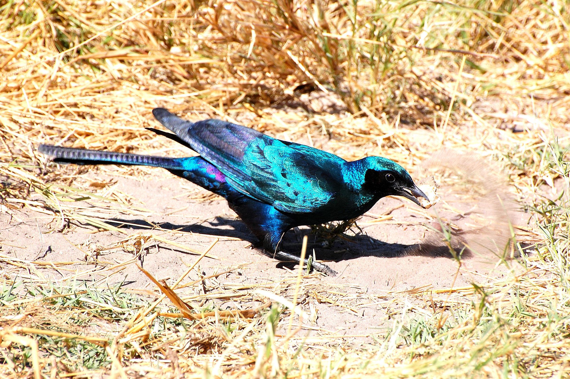 Botswana: Blue African Starflock...
