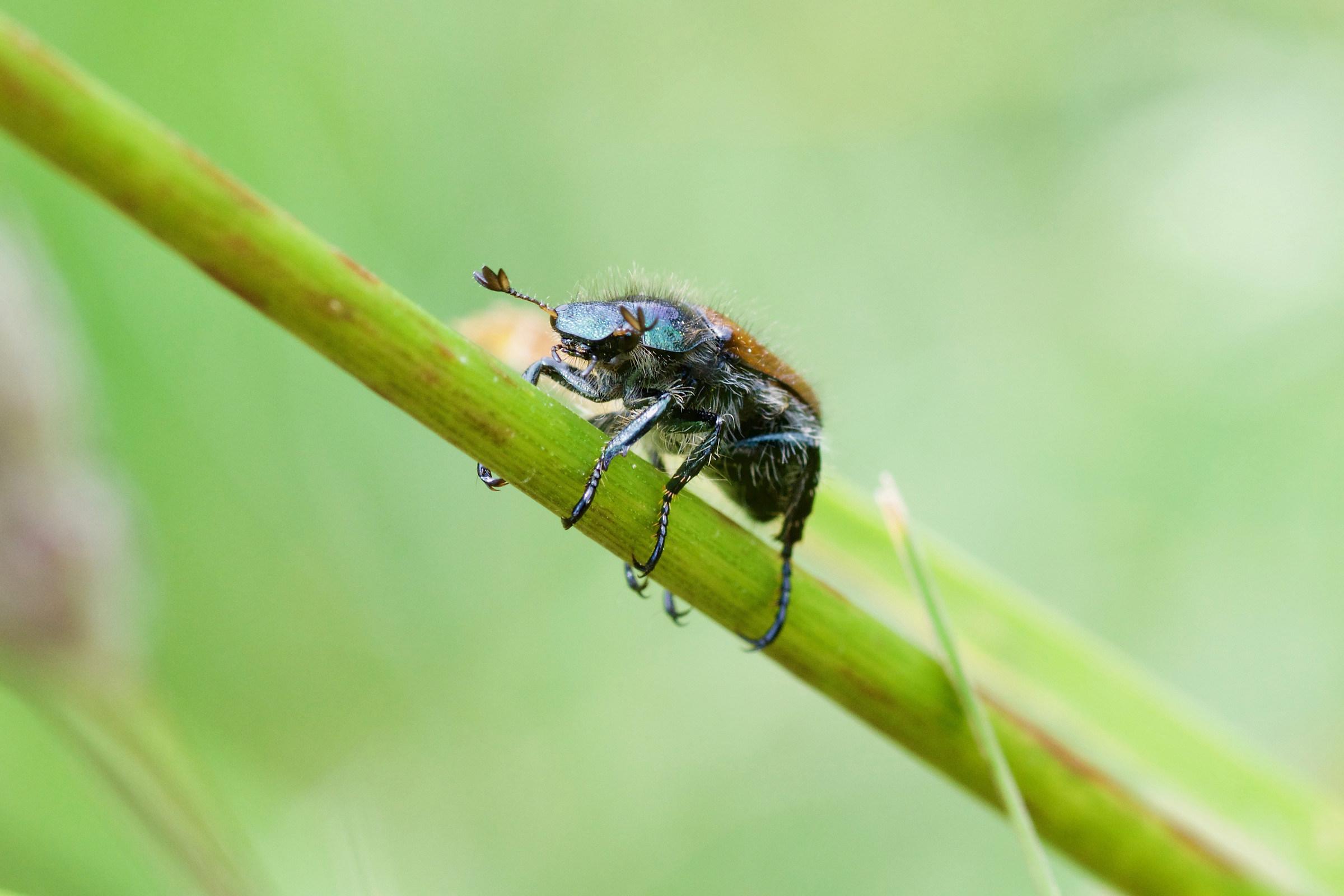 Garden beetle...