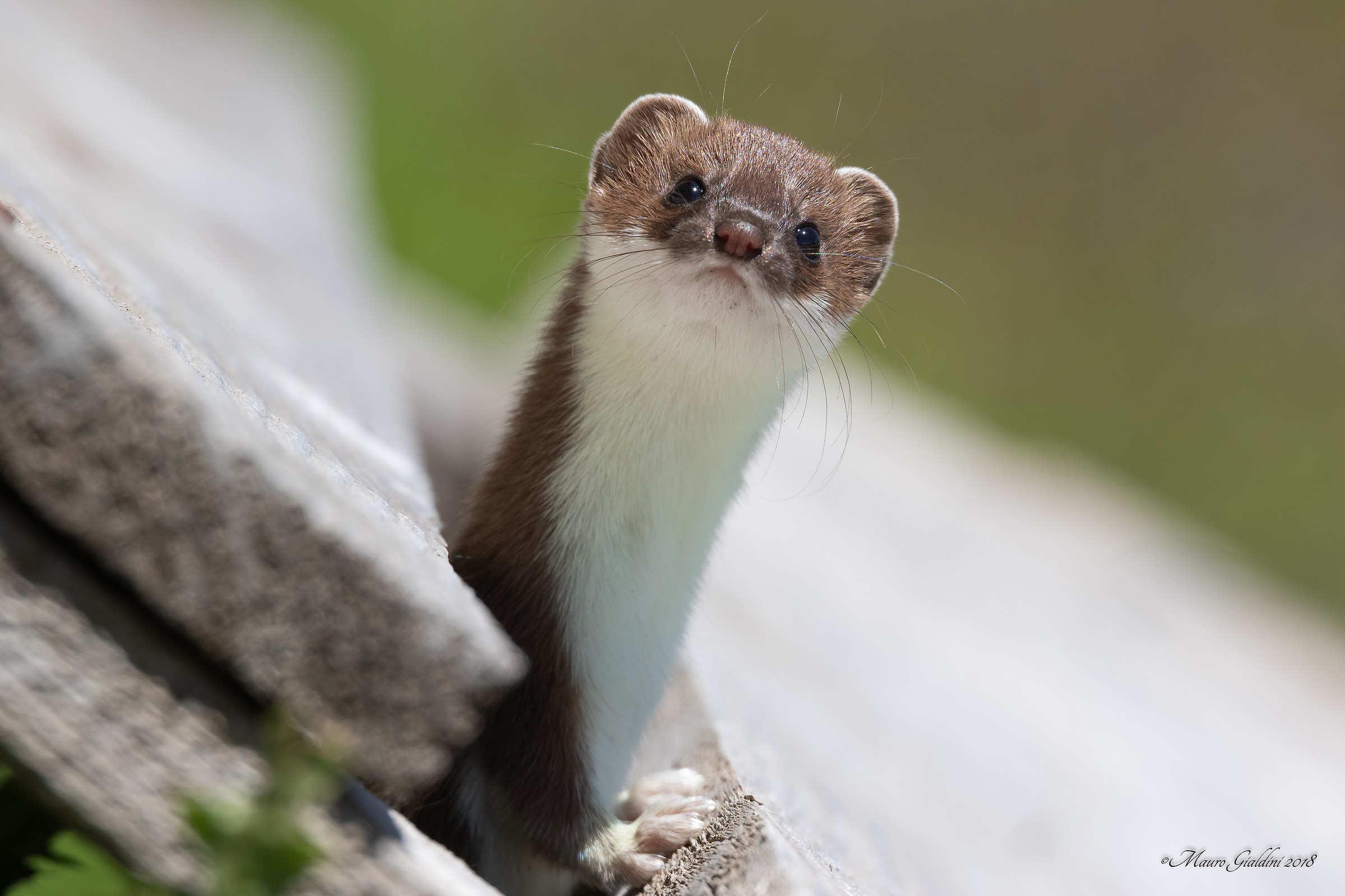 Young Ermine...