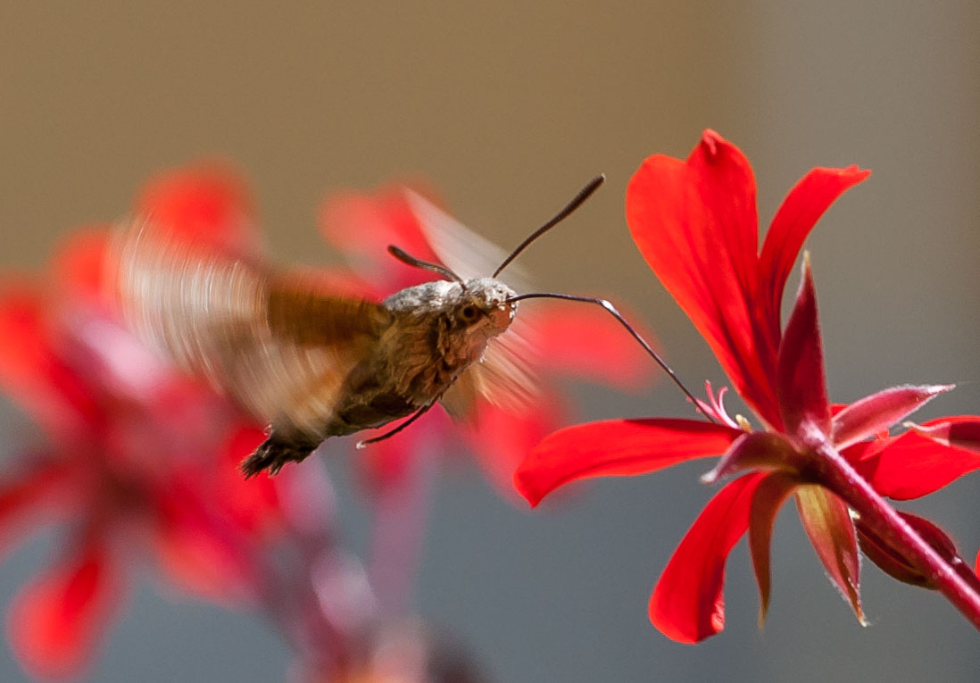 Sphinx of the Galium (Macroglossum stellatarum)...