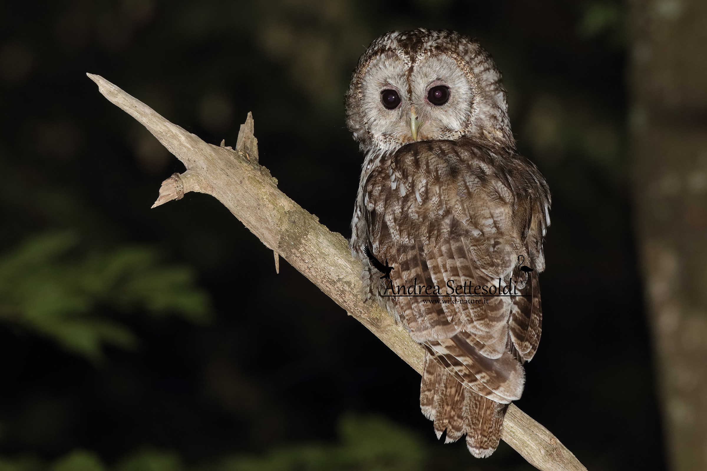 Young Tawny Owl...