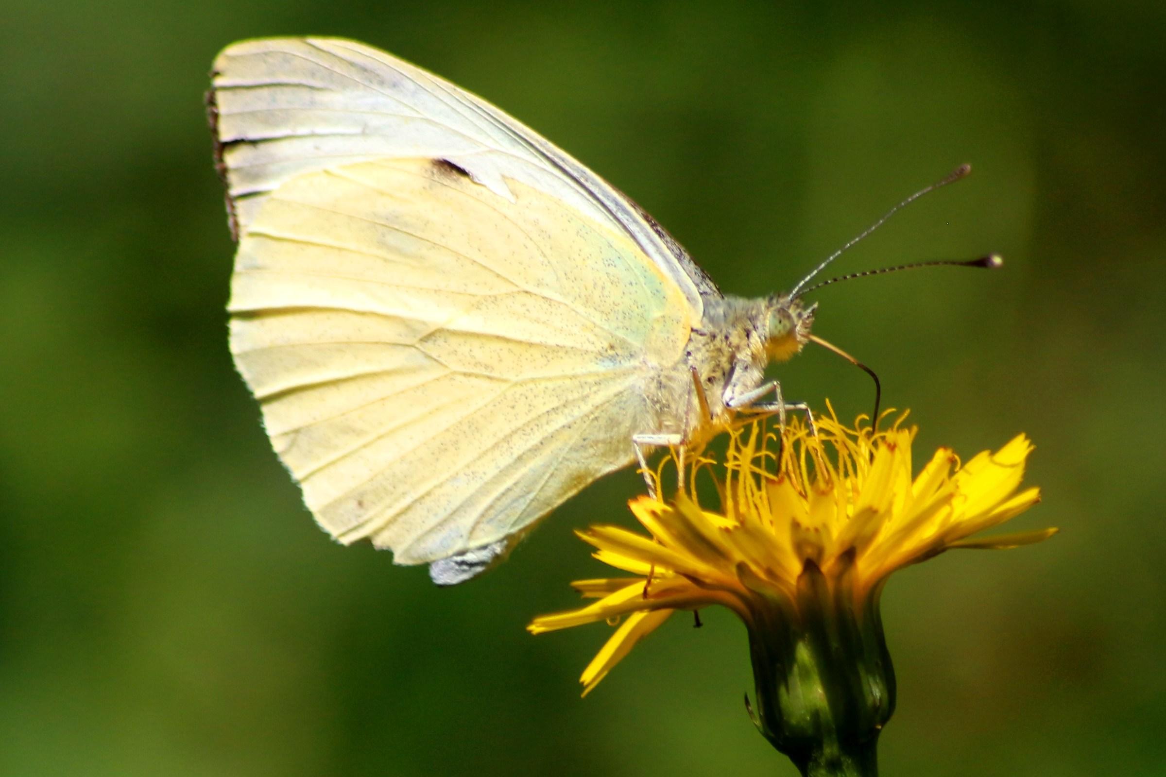 la farfalla bianca sul fiore giallo...