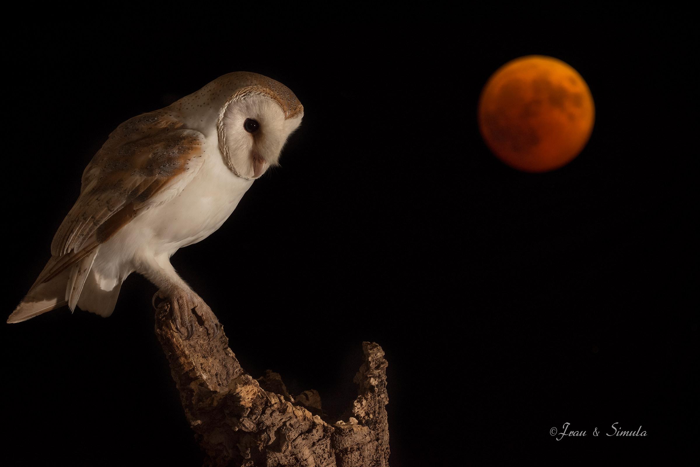 Barbagianni di Sardegna in eclissi !...