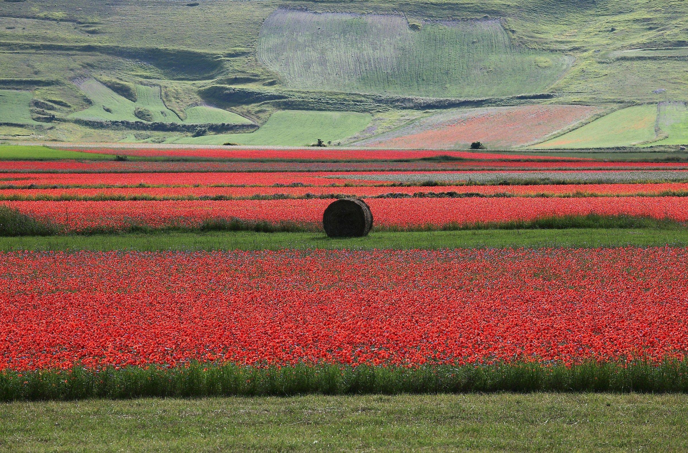 Di rosso passione... verde speranza... per Castelluccio...