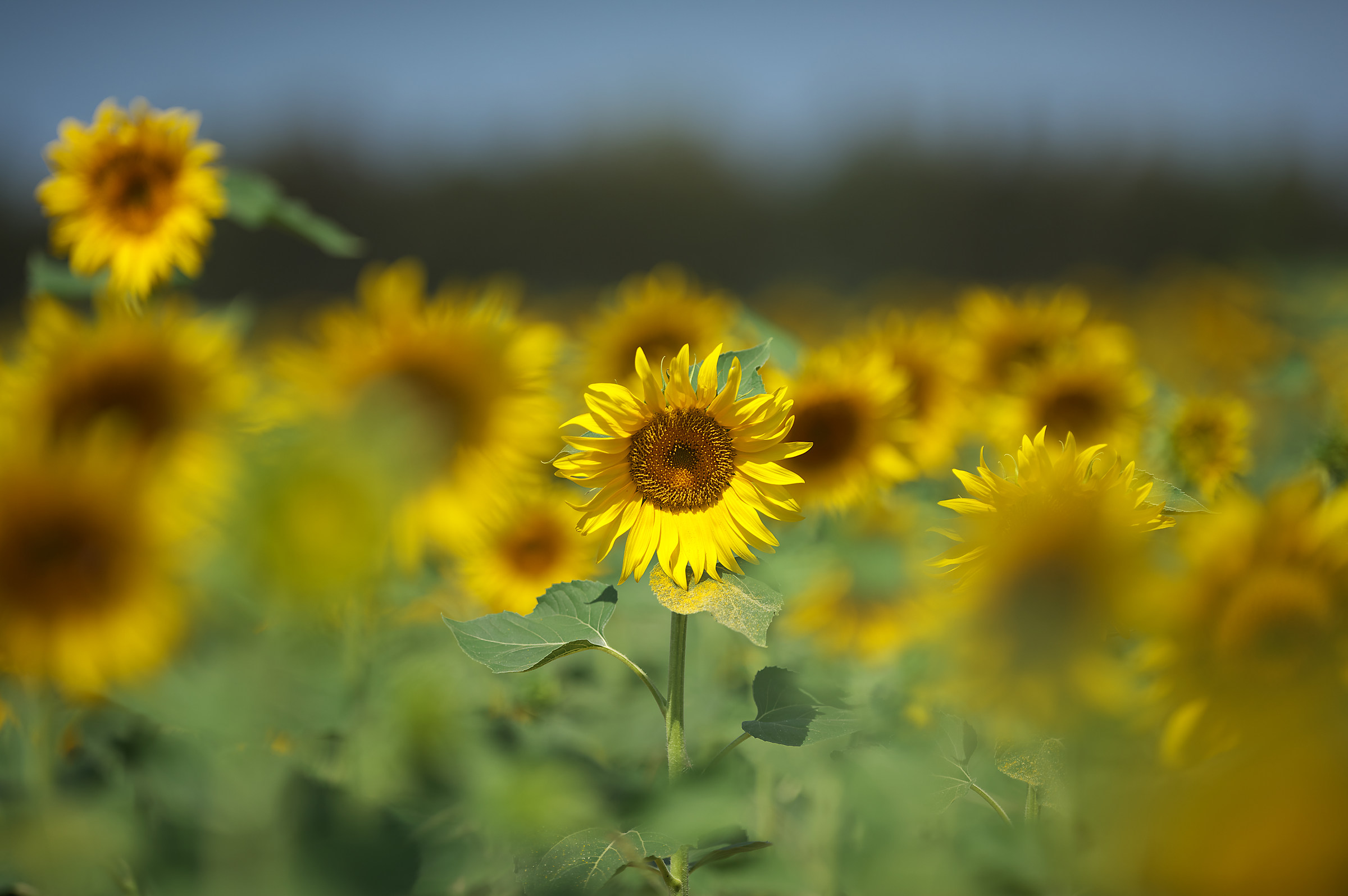 Sunflowers.. Among the many I've seen you...