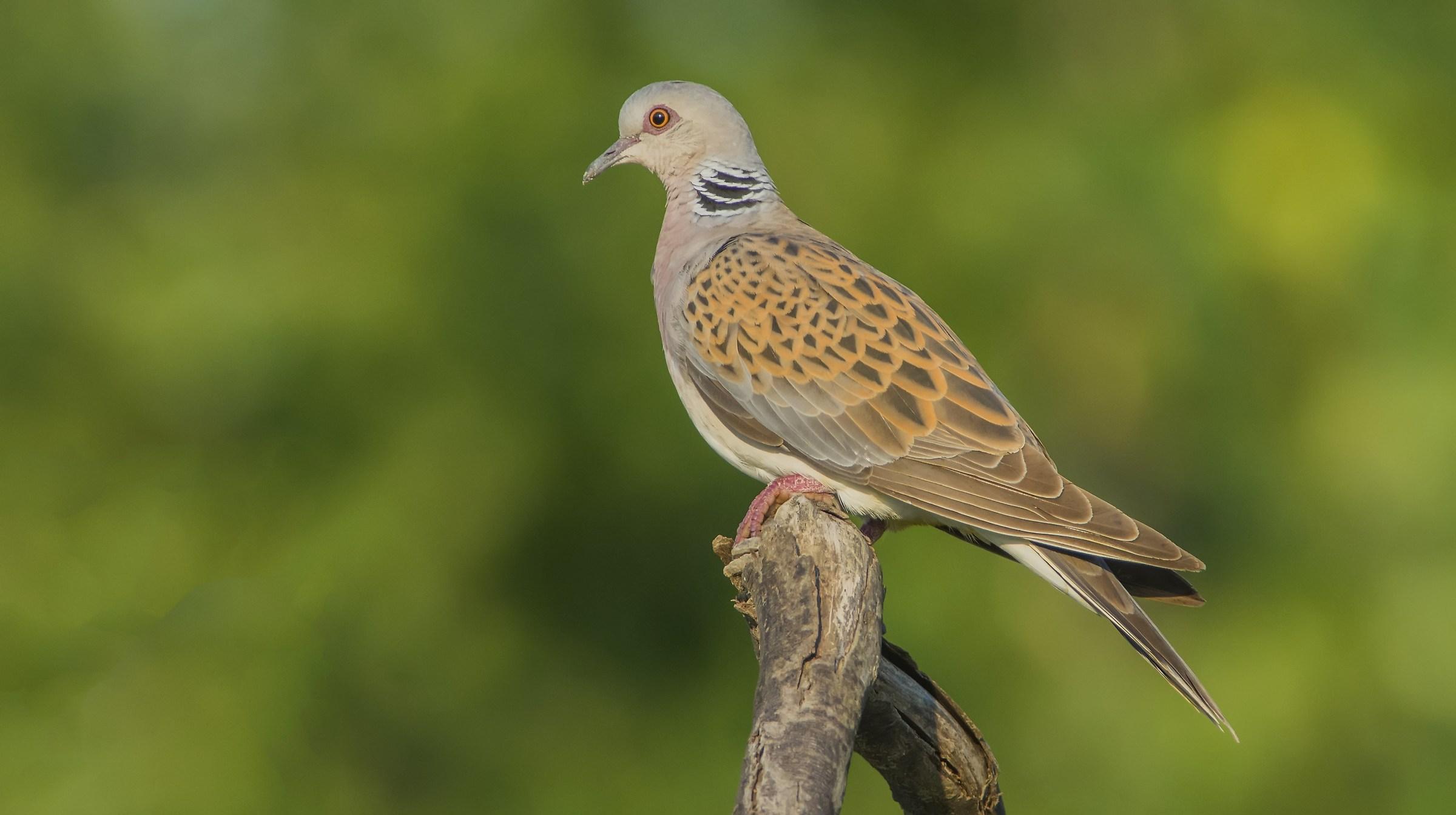 Wild Dove...