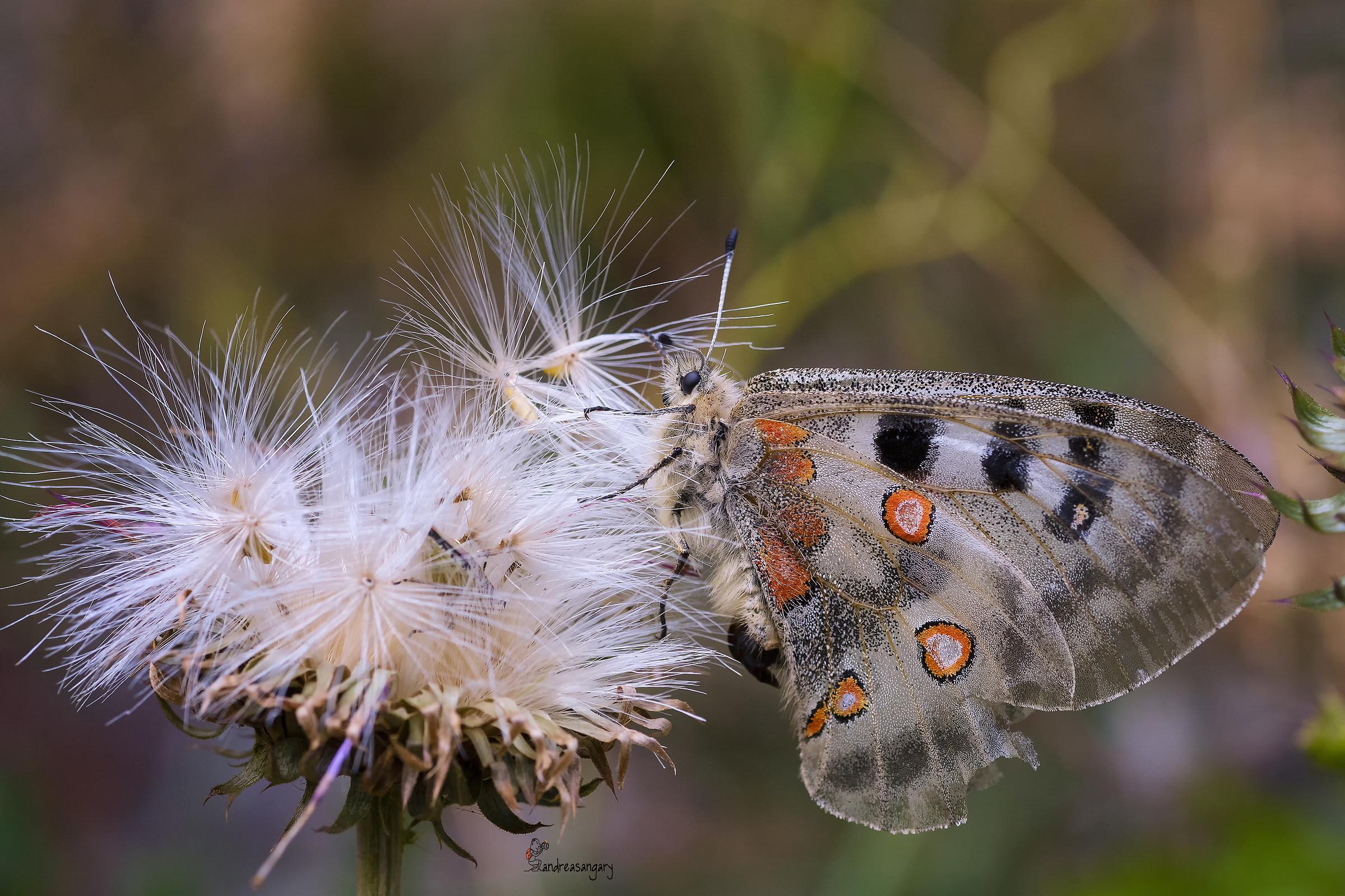 La regina delle farfalle...