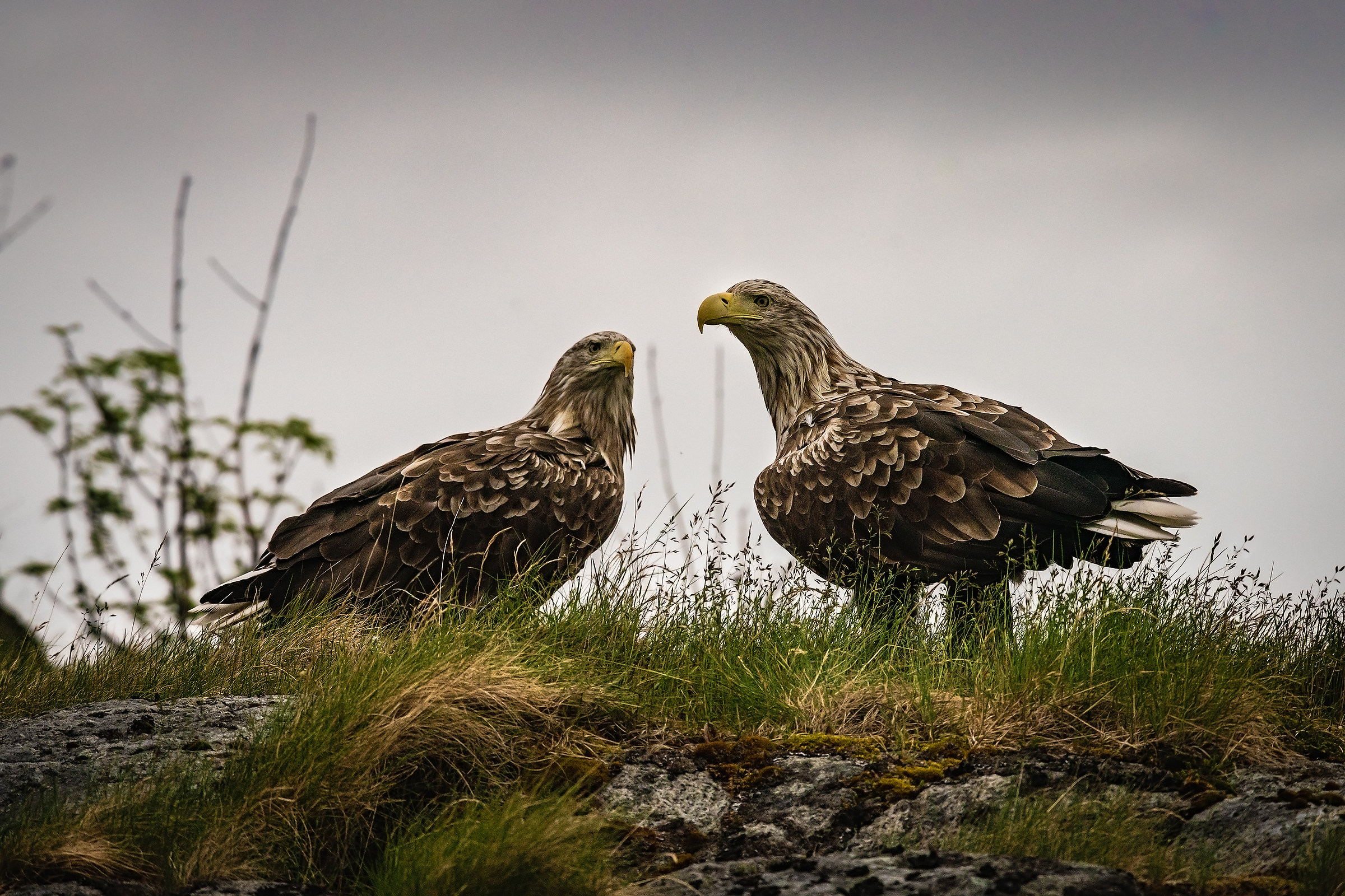 White-tailed Eagle...