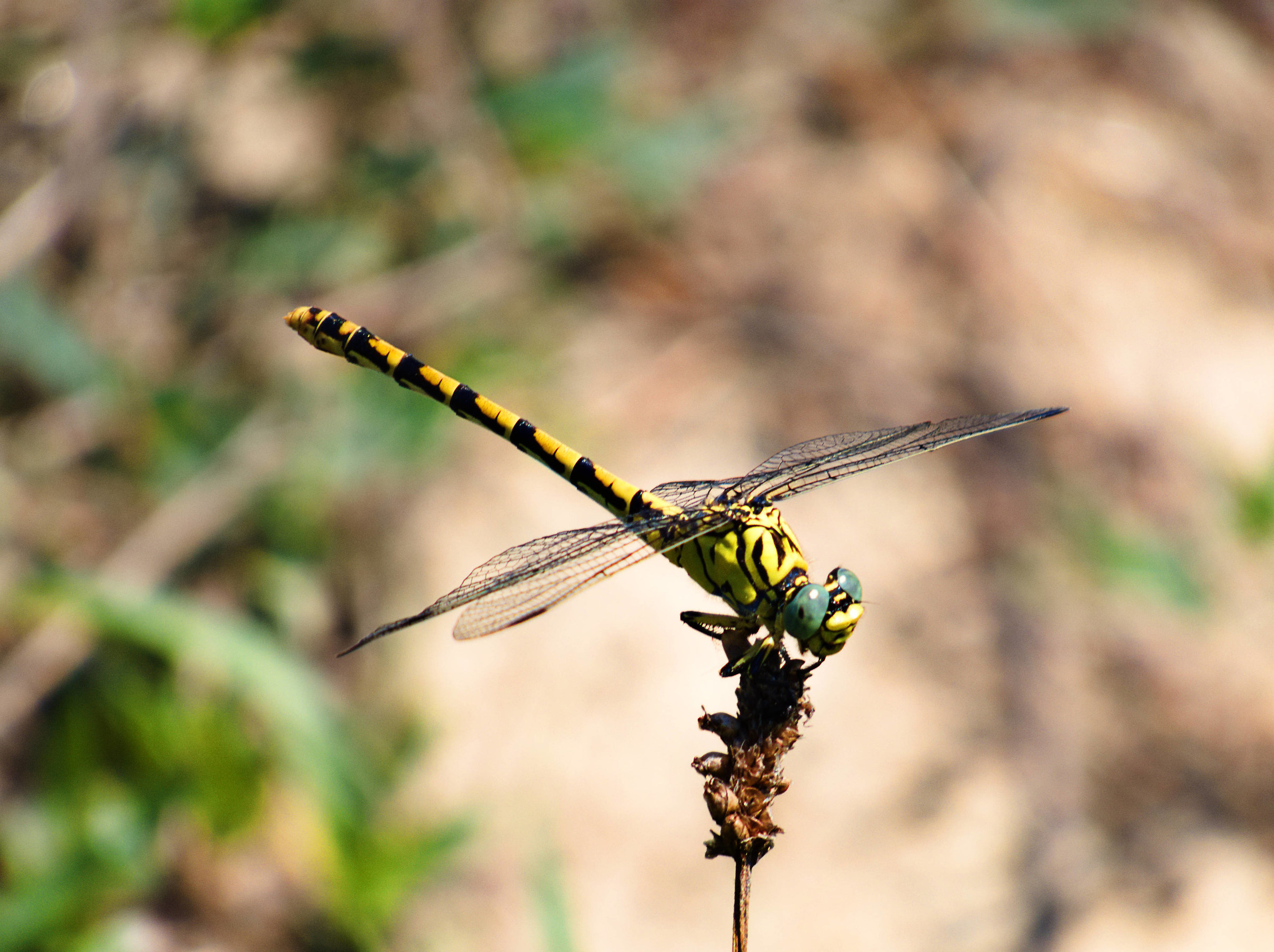 Big predatory Dragonfly!...