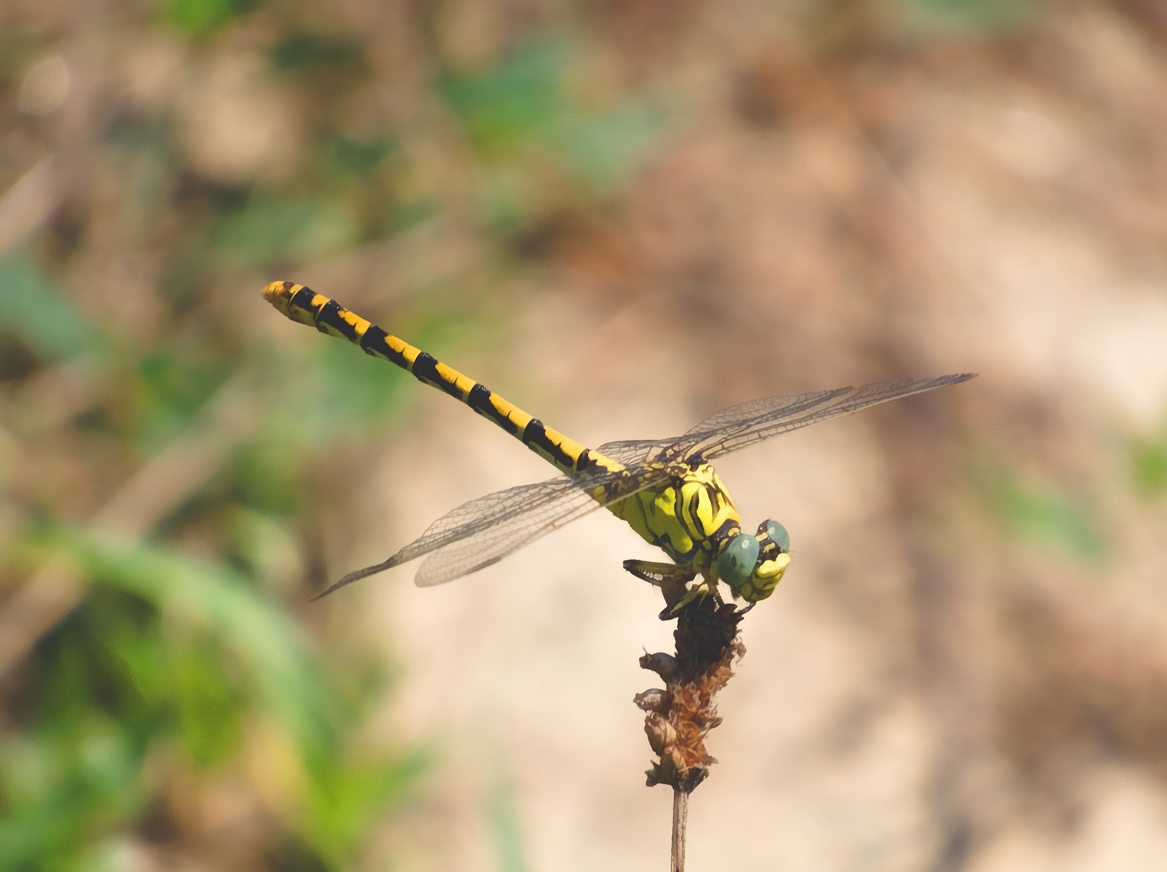 The same dragonfly with Gimp...