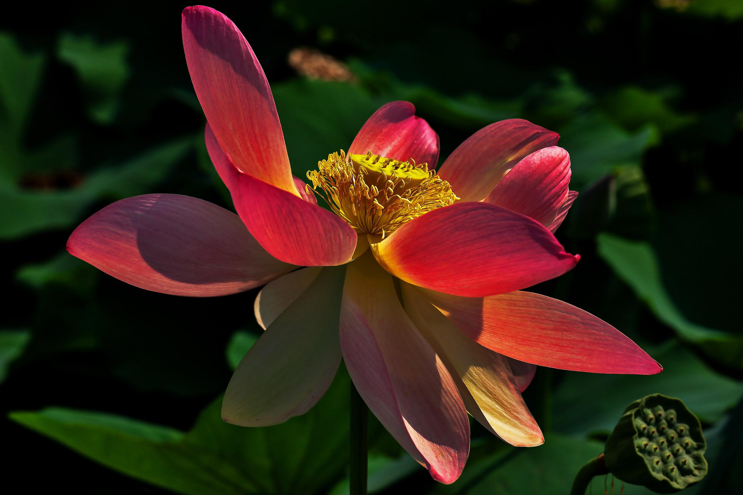 Lotus Flower...