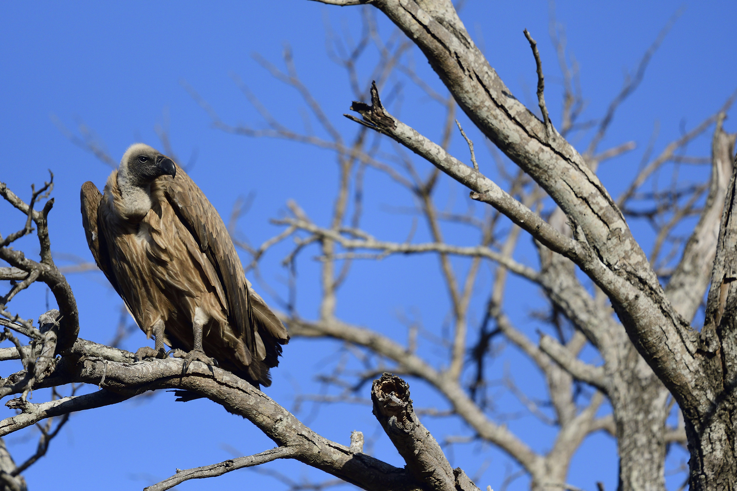 Gyps africanus-White-back vulture-free hand-...