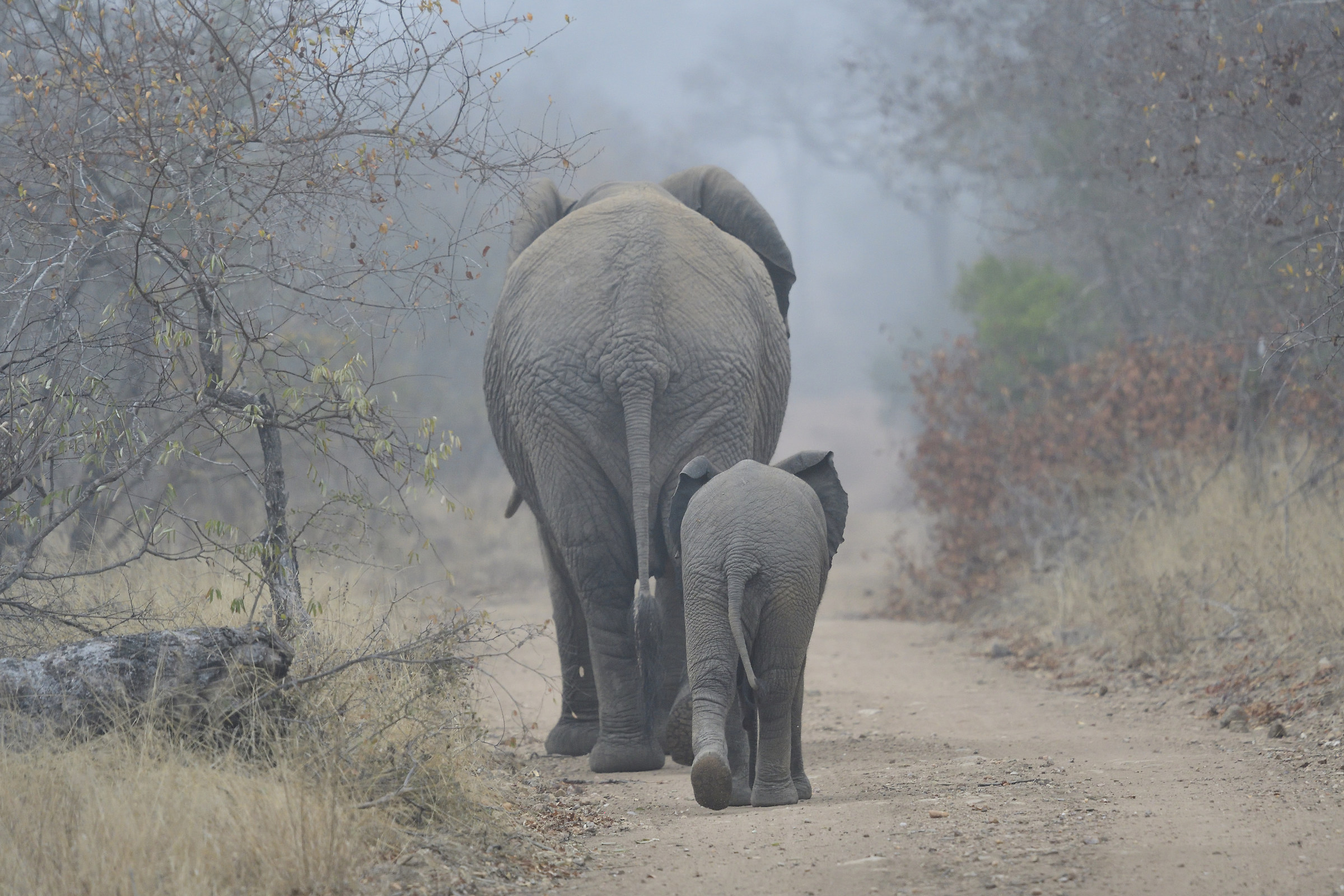 Elephants in South African fog...