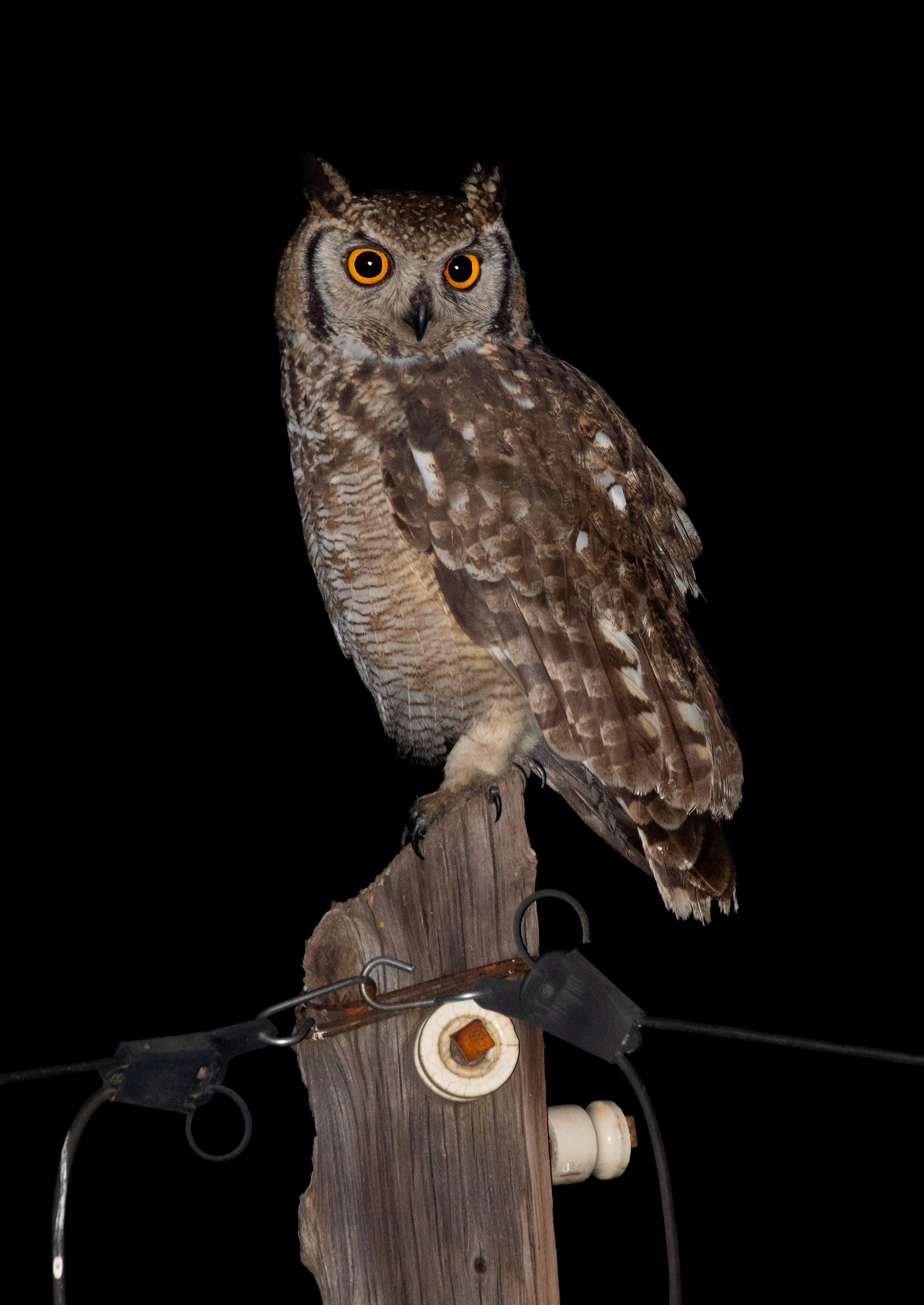 Spotted Eagle-Owl...