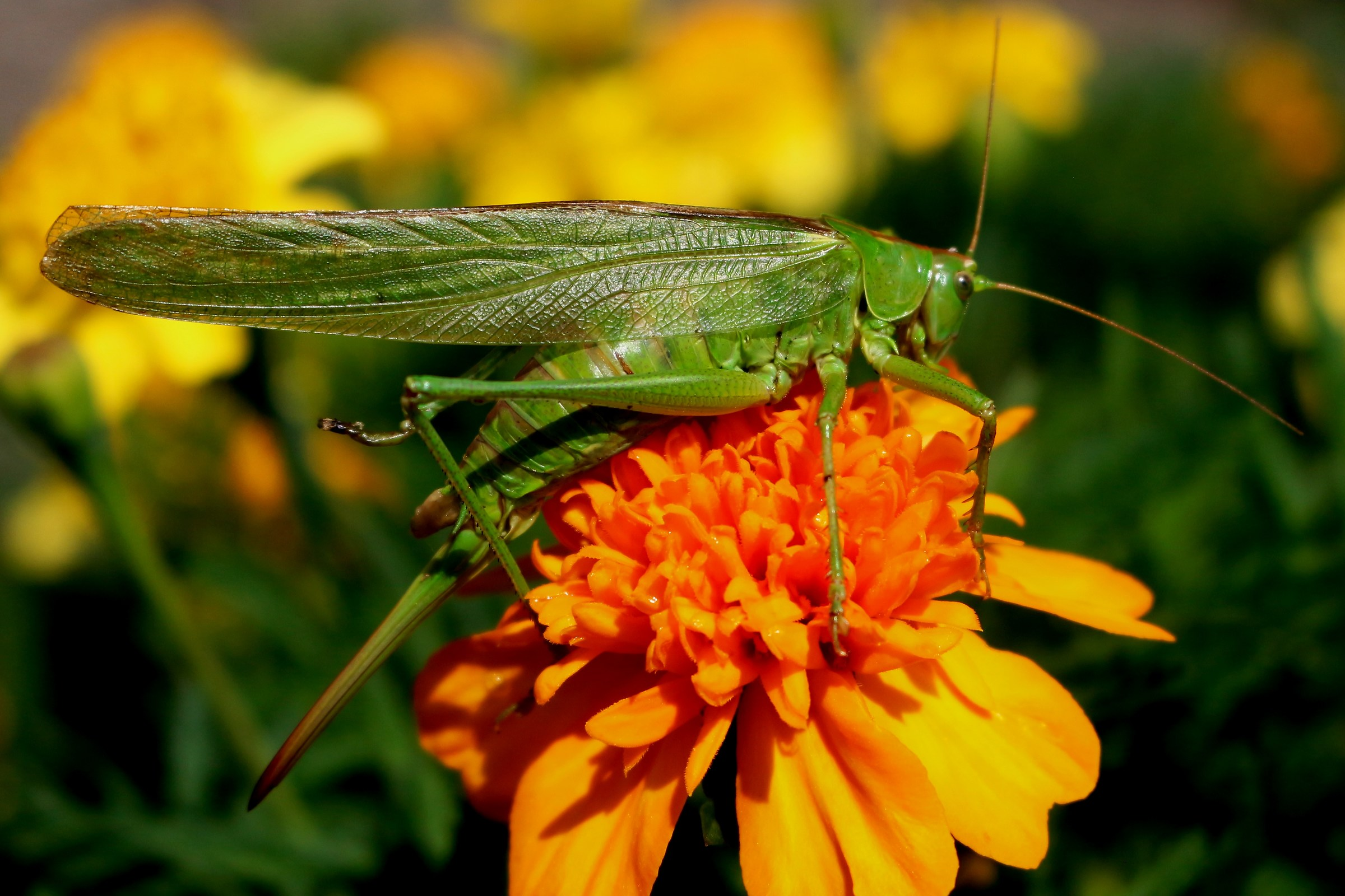 The Green Grasshopper on the marigold...