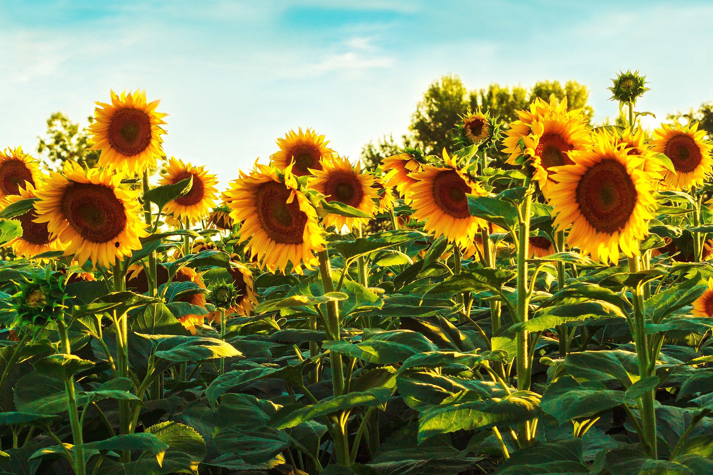 My sunflowers...