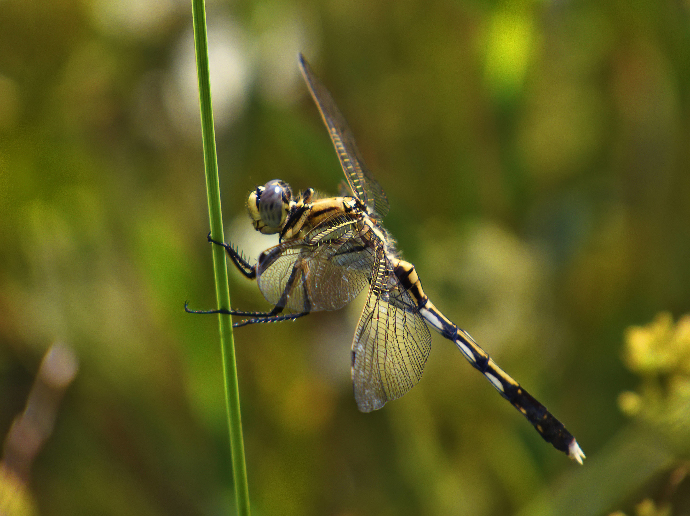 Dragonfly very common inland rice fields right now...