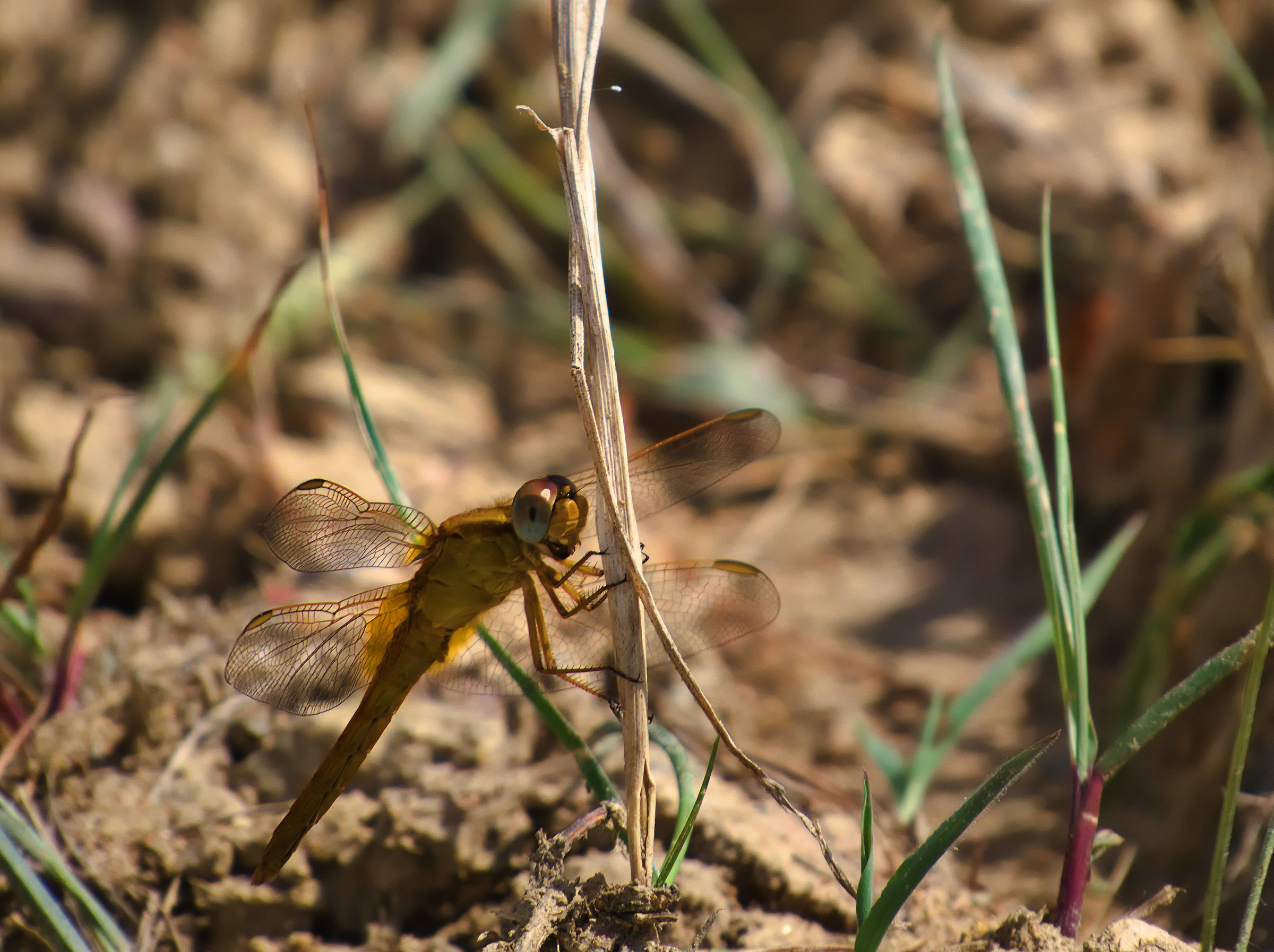 Sympetrum Female. I did not understand which!...