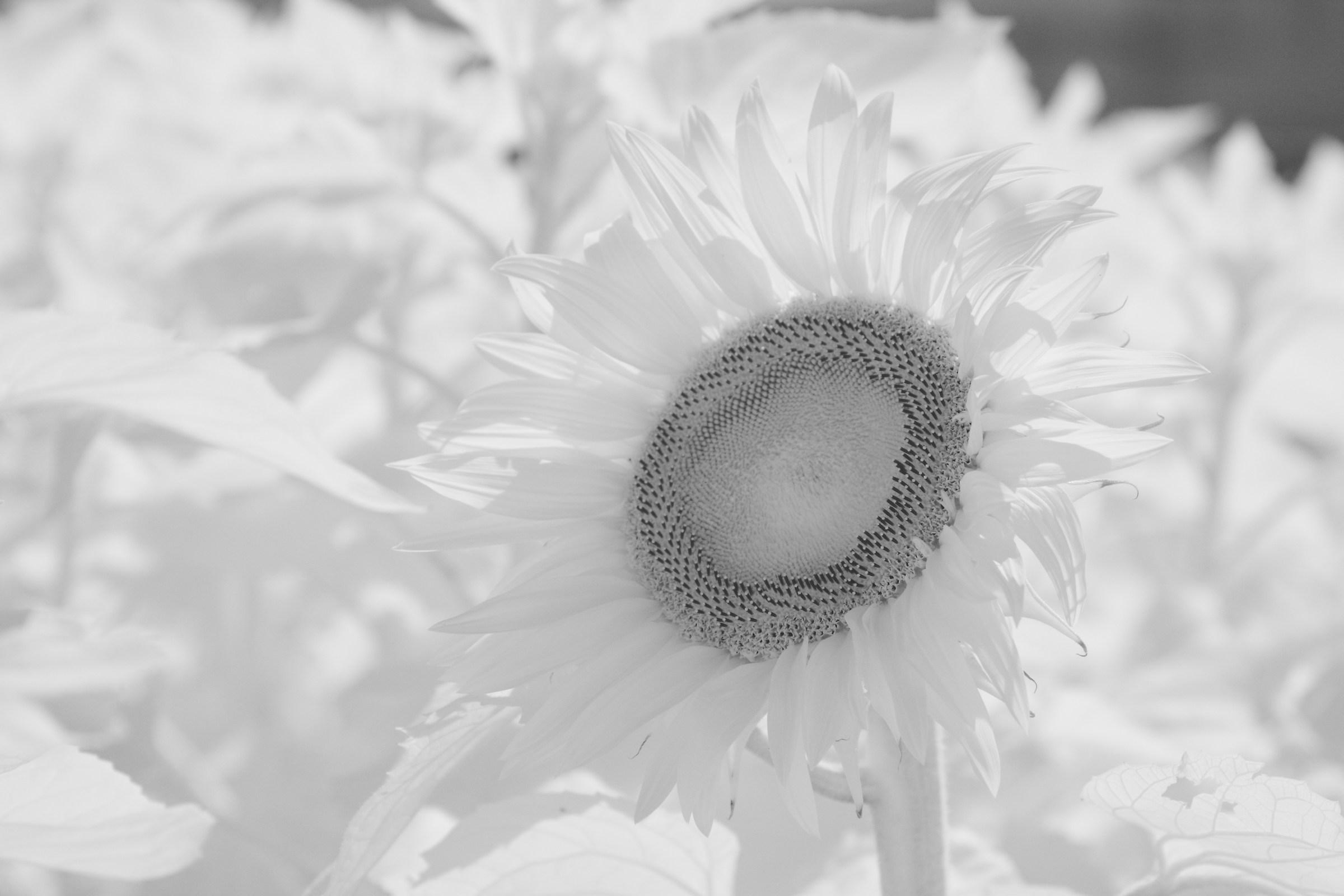 Sunflower Pistil...